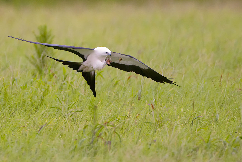 Swallow-tailed Kite. Donald Wuori/Audubon Photography Awards