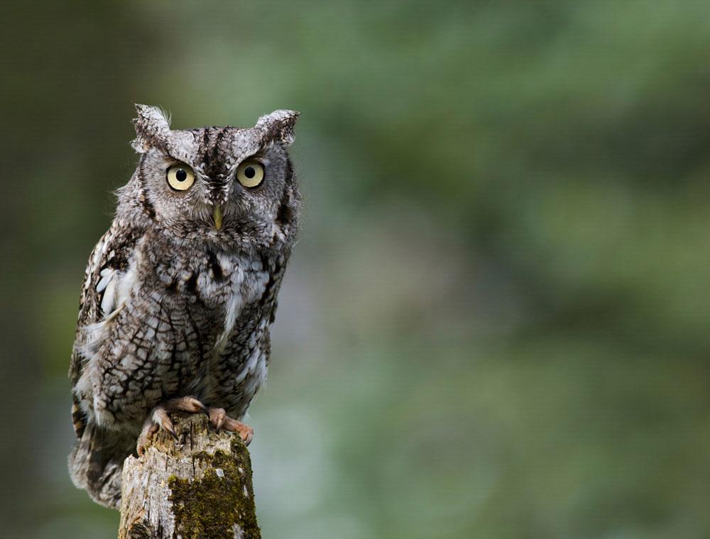 Eastern Screech-Owl. Jen StLouis/Audubon Photography Awards