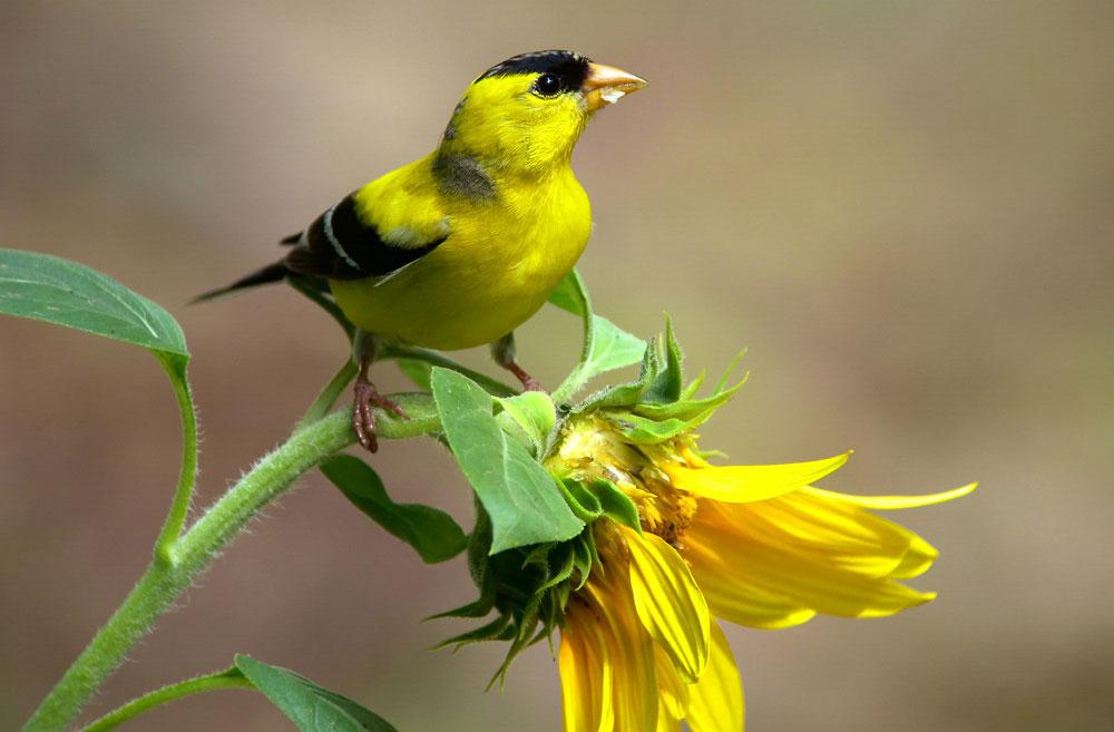 Male American Goldfinch in breeding plumage. Megumi Aita/Audubon Photography Awards