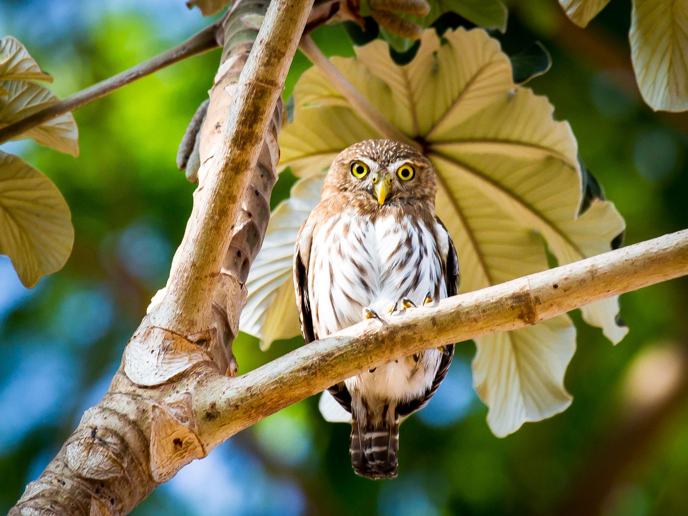 Ferruginous Pygmy-Owl. Charles Murphy/Audubon Photography Awards