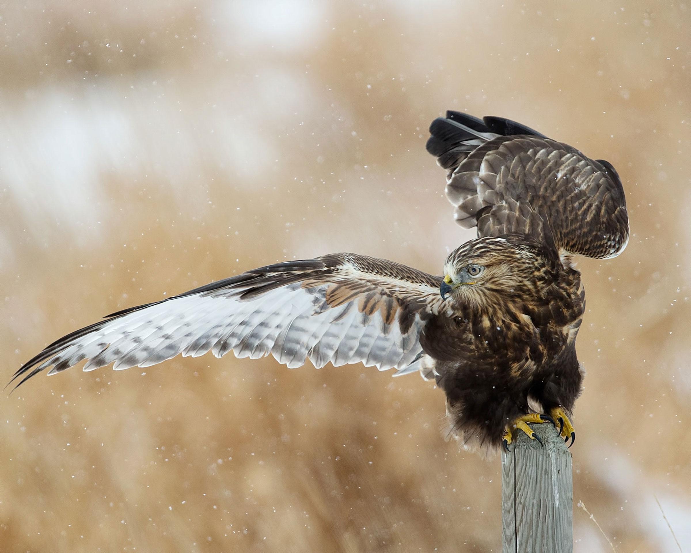 Rough-legged Hawk. Harry Colquhoun/Audubon Photography Awards