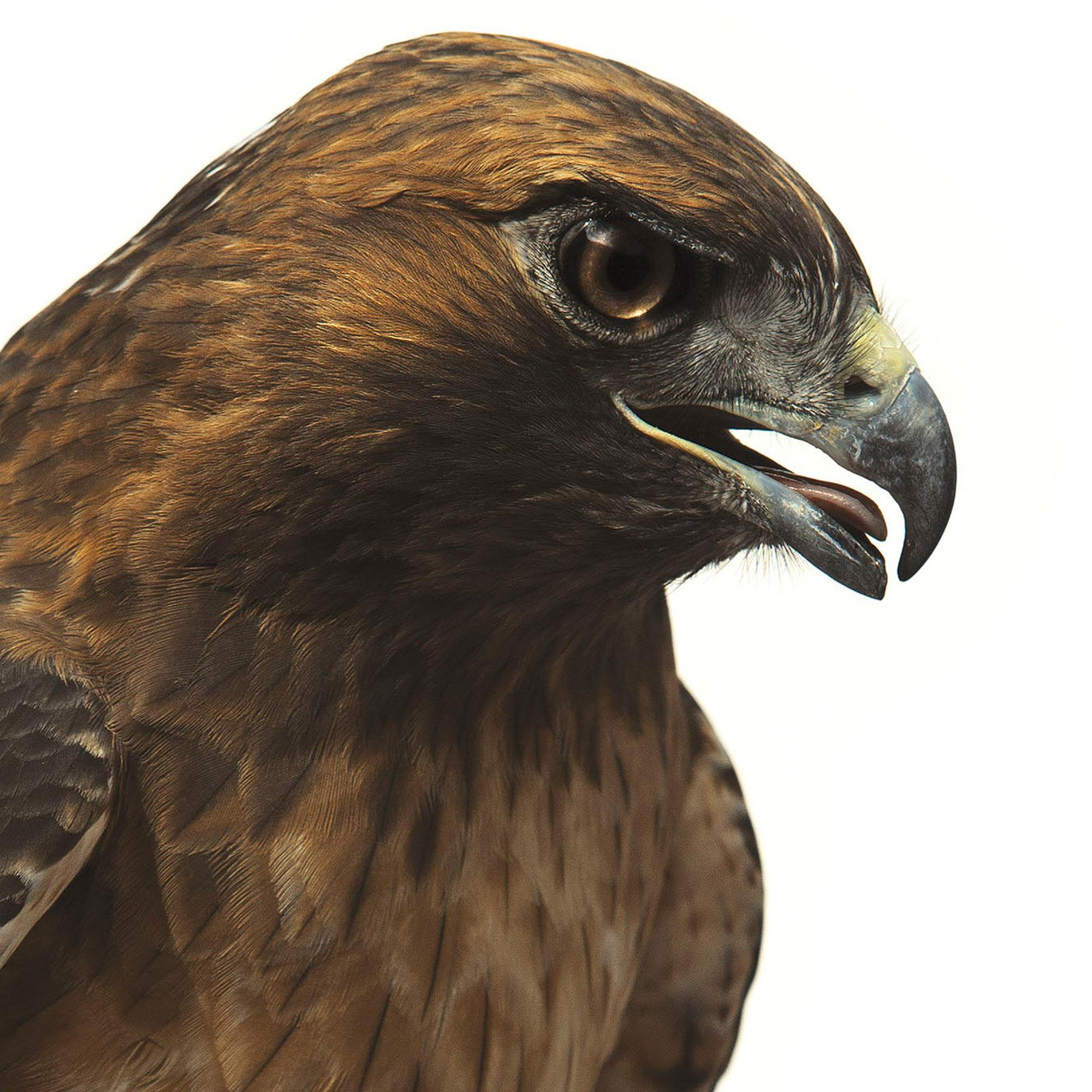 Red-tailed Hawk. Jennifer Maharry Maharry/Audubon Photography Awards