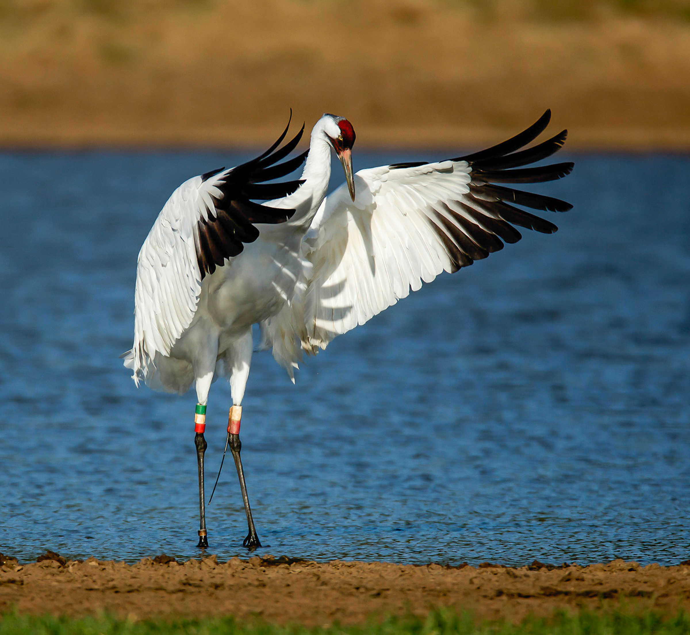 Whooping Crane. Karen Willes/Audubon Photography Awards