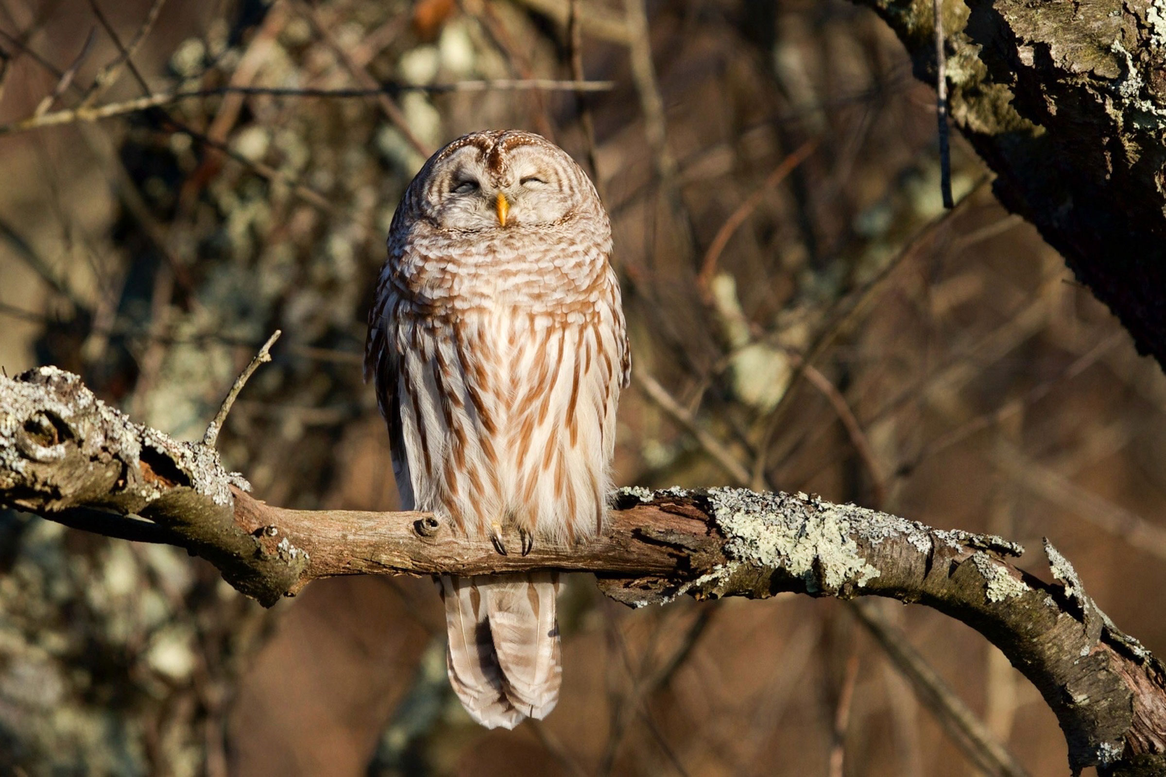 Barred Owl. Kimberley Caruso/Audubon Photography Awards