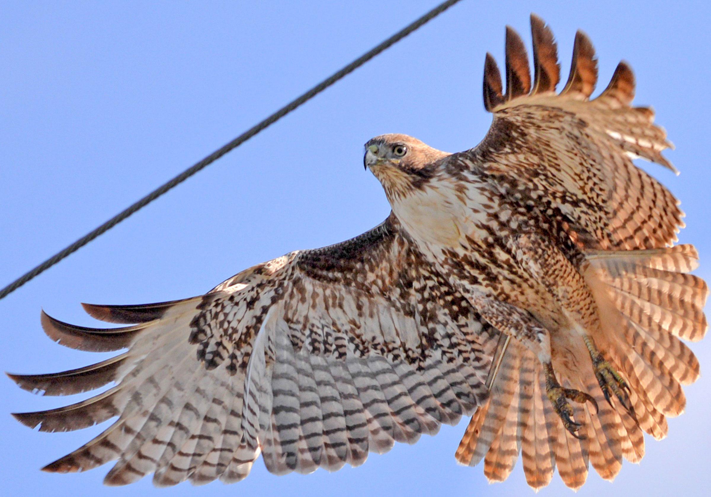Red-tailed Hawk. Lorna Padden/Audubon Photography Awards