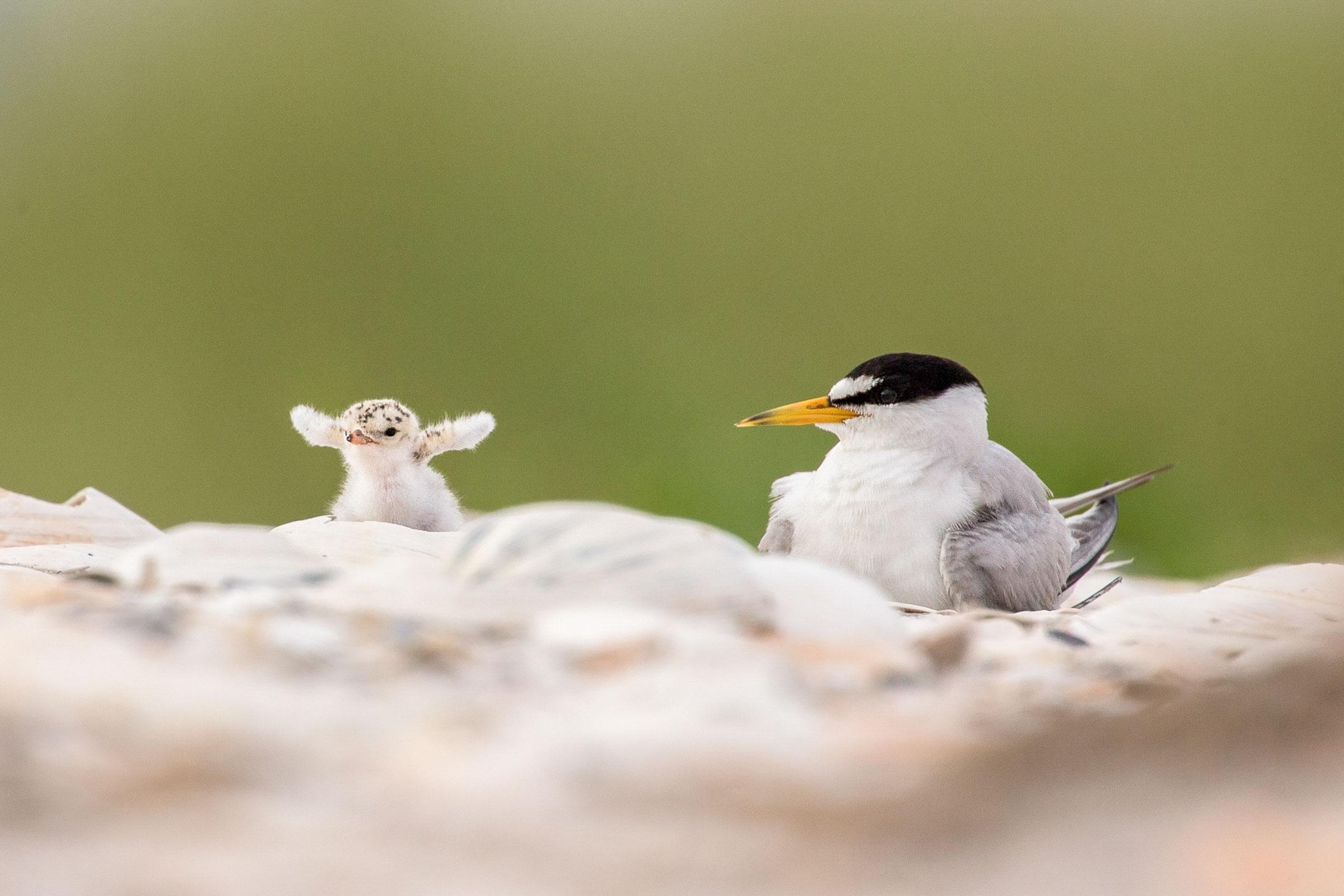 Least Tern and chick. Melissa Groo/Audubon Photography Awards