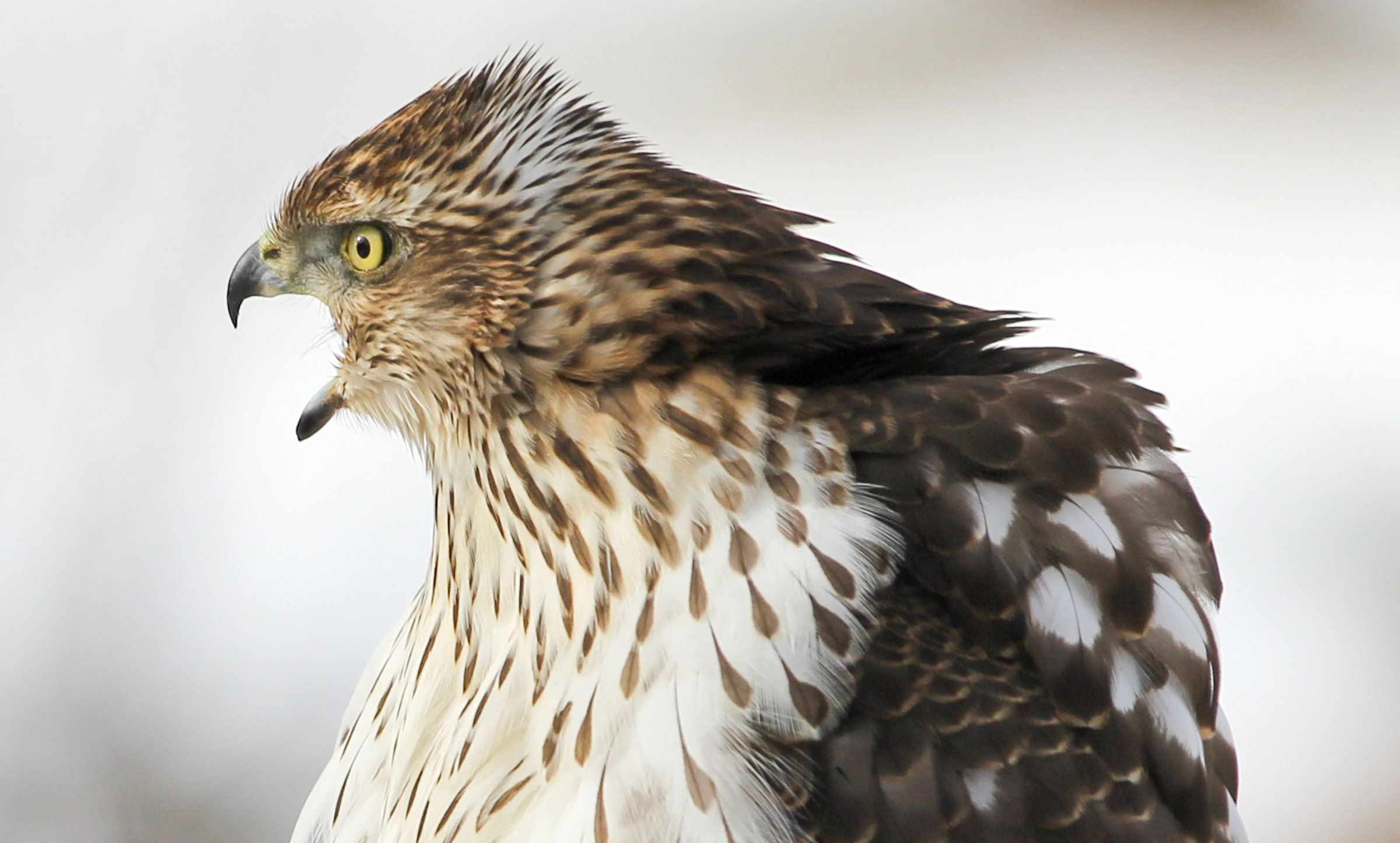 Cooper's Hawk. Mike Dudash/Audubon Photography Awards