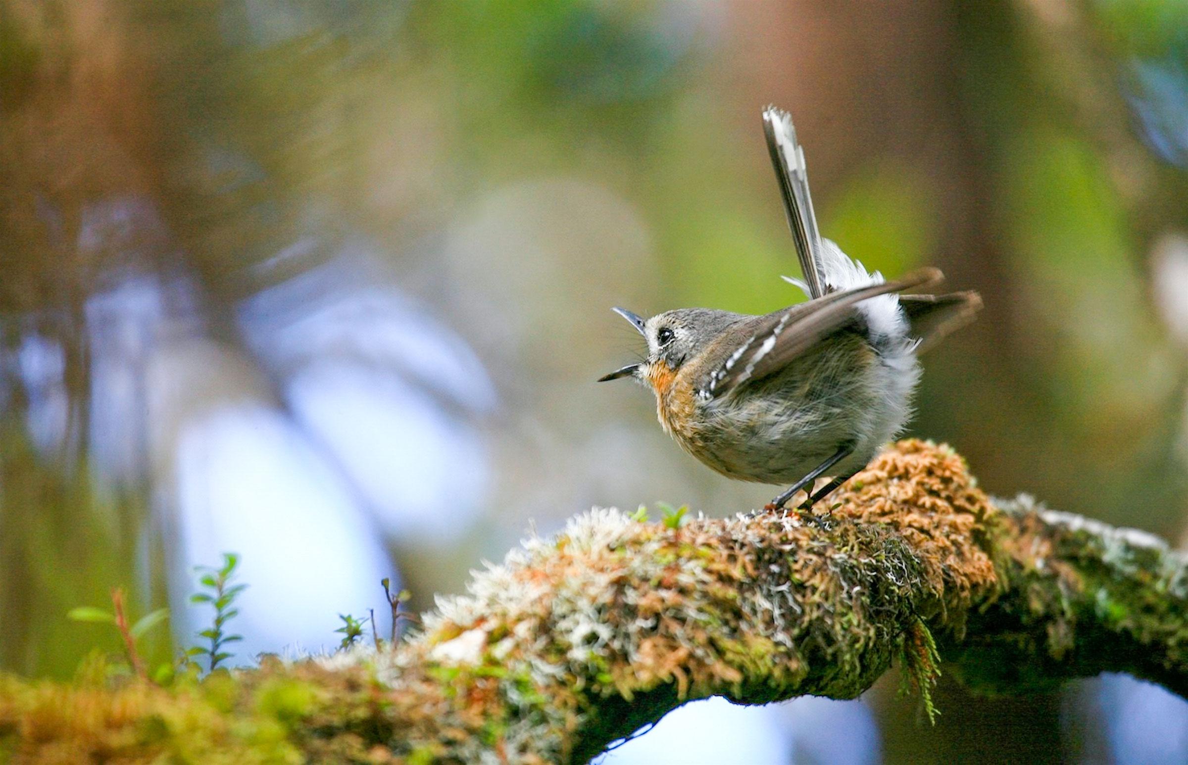 'Elepaio. Mitch Walters/Audubon Photography Awards