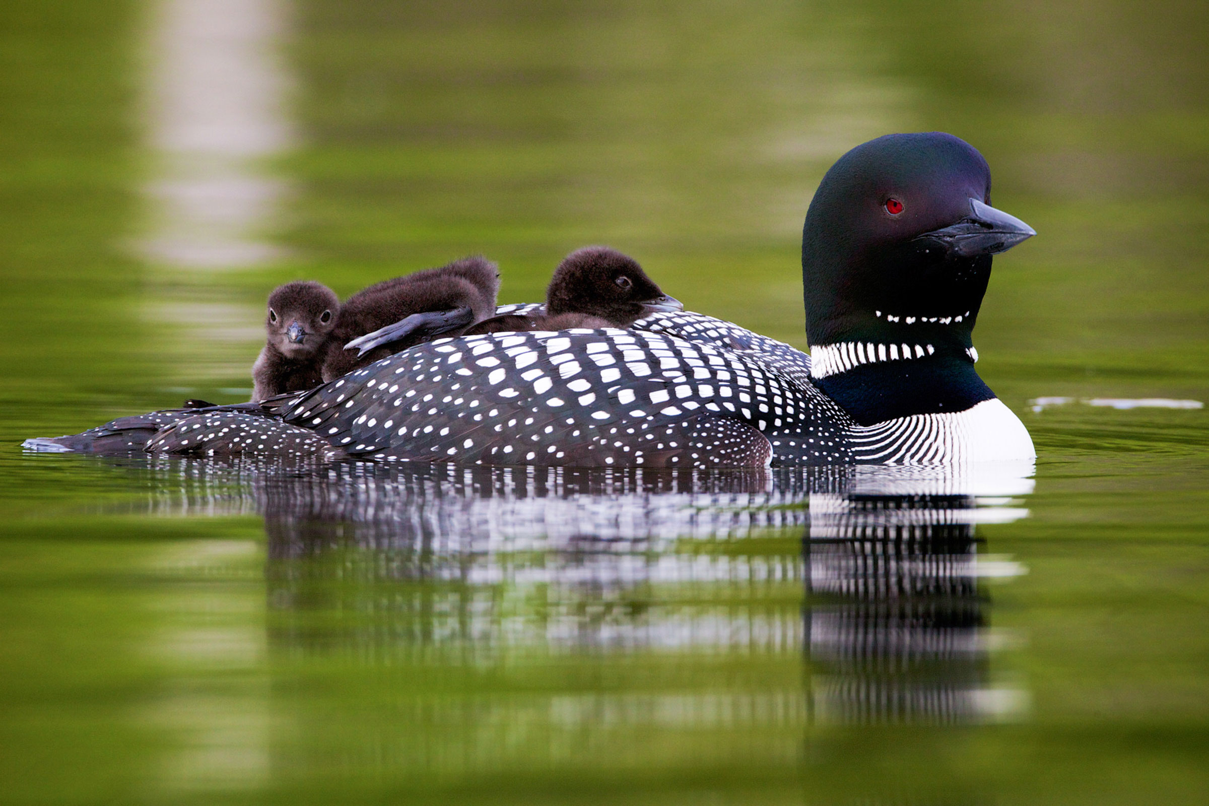 By the end of the century, Minnesota will likely no longer host its iconic Common Loons in the summertime because of climate change. Timothy Lenahan/Audubon Photography Awards