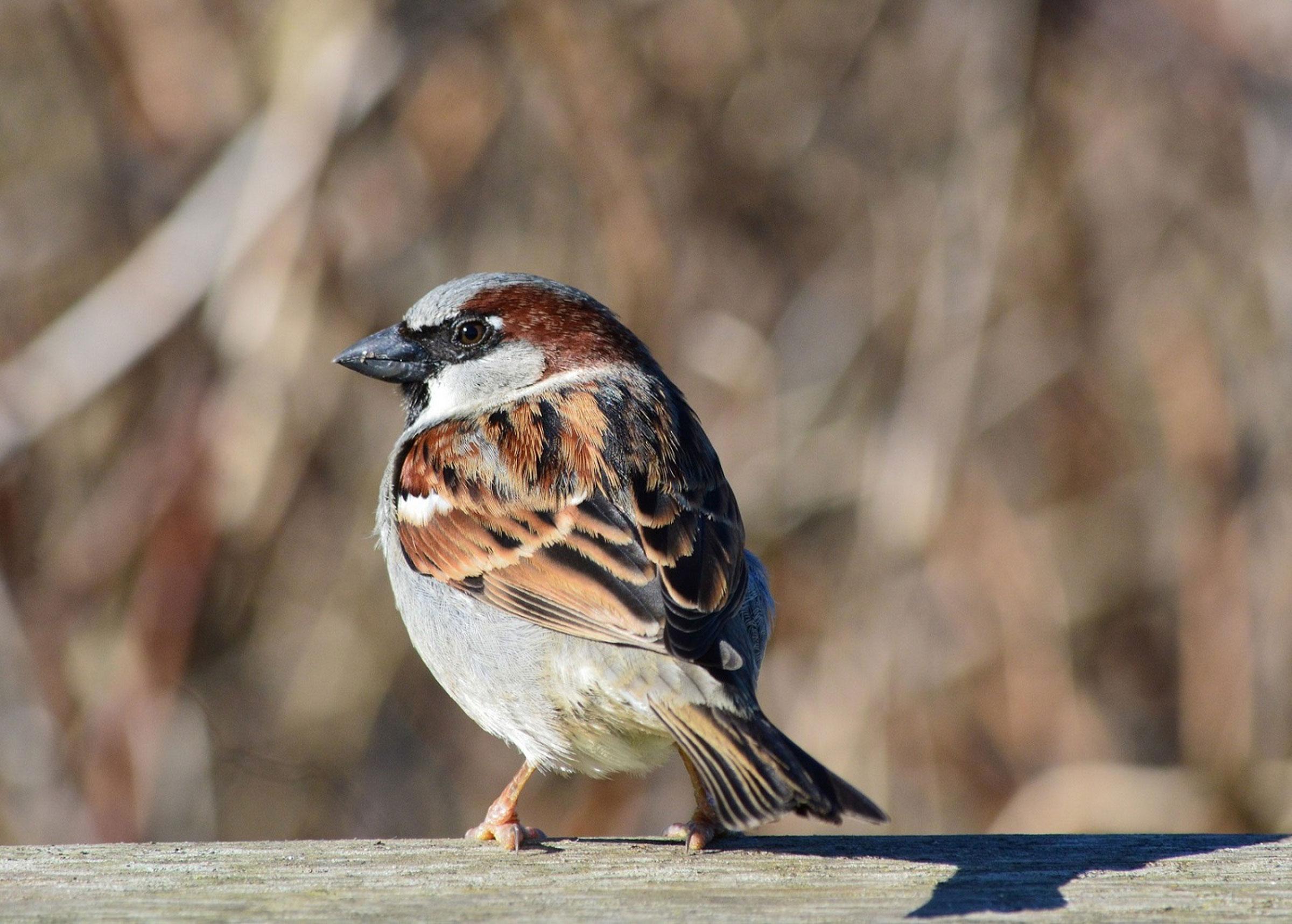 House Sparrow. Tracey Lowrey/Audubon Photography Awards
