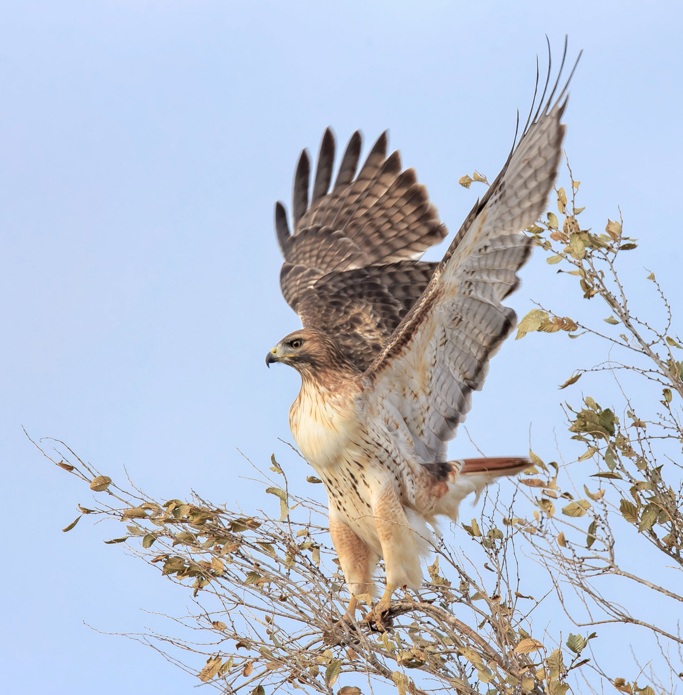 Red-tailed Hawk. Wink Gaines/Audubon Photography Awards