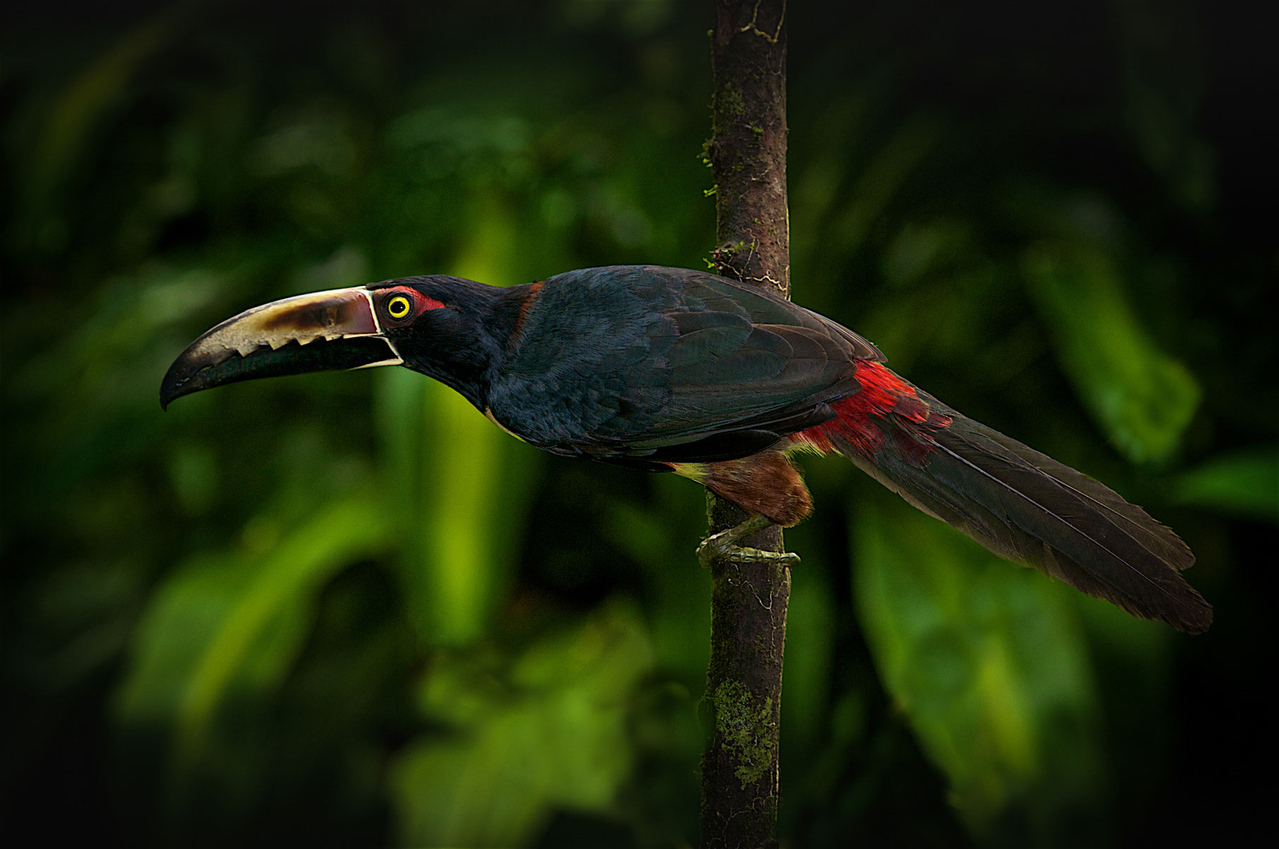 Rather than translating the Collared Aracari's name directly from English, Mexican officials went with a more descriptive label: Tucancillo Collarejo. Garrett Scales/Audubon Photography Awards