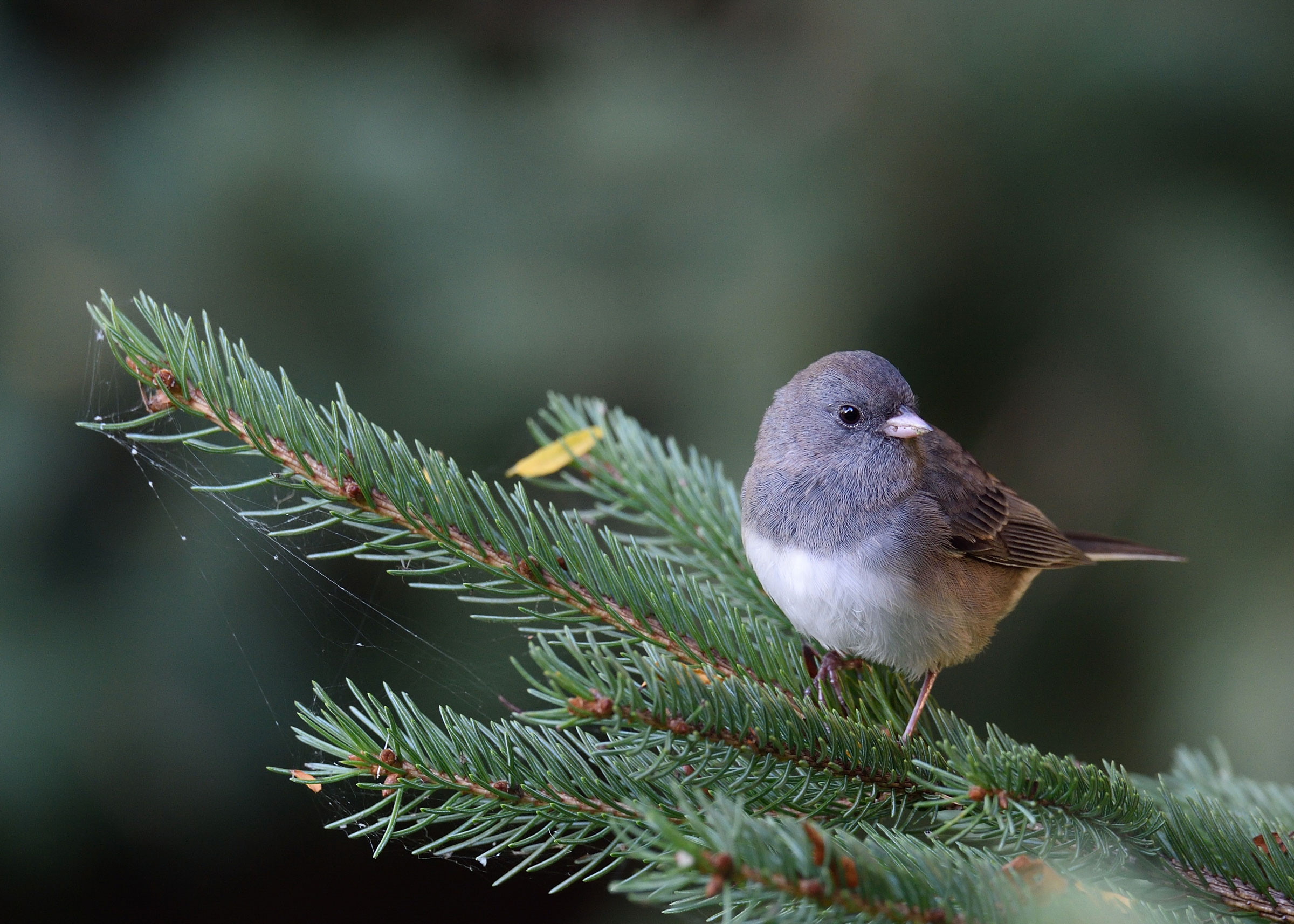 Dark-eyed Junco. Dennis Derby/Audubon Photography Awards
