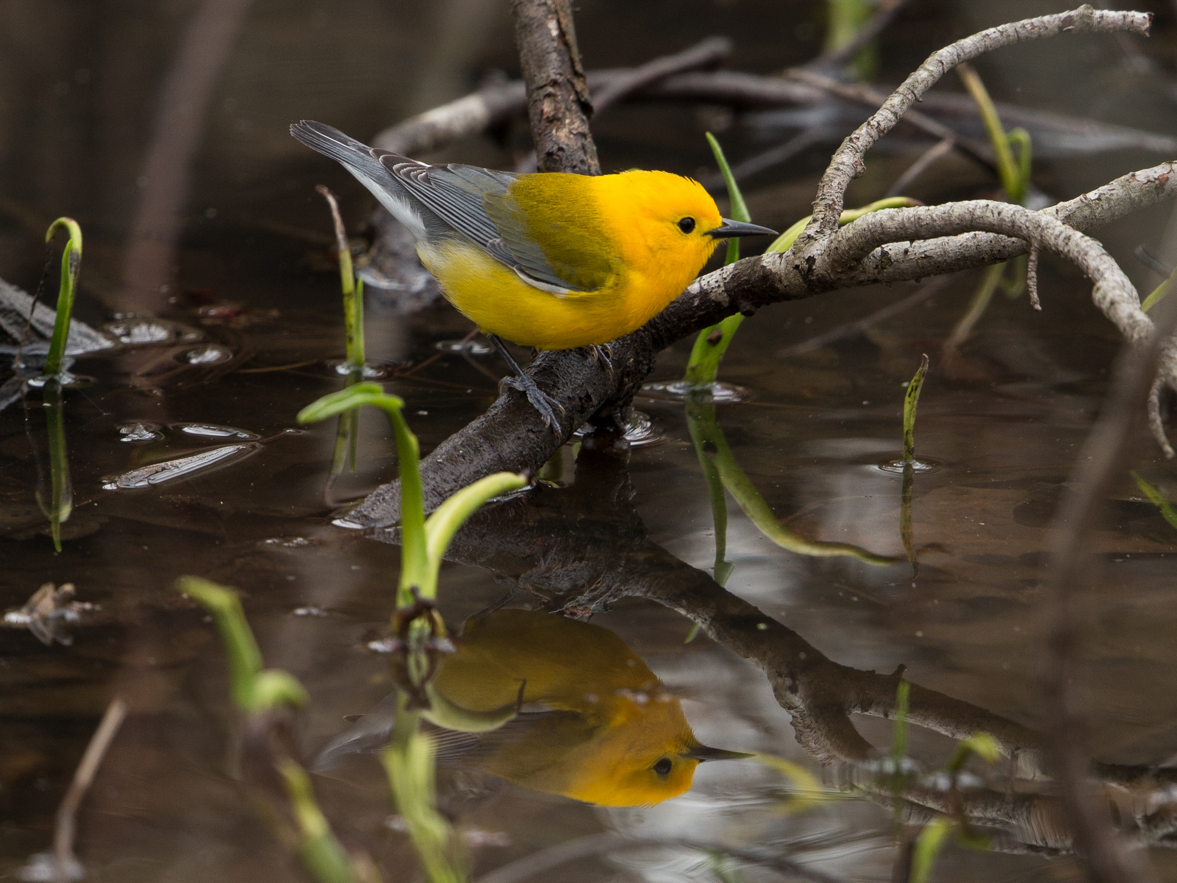 Prothonotary Warblers rely heavily on the Yazoo Backwater Area during spring migration. Gary Robinette/Audubon Photography Awards