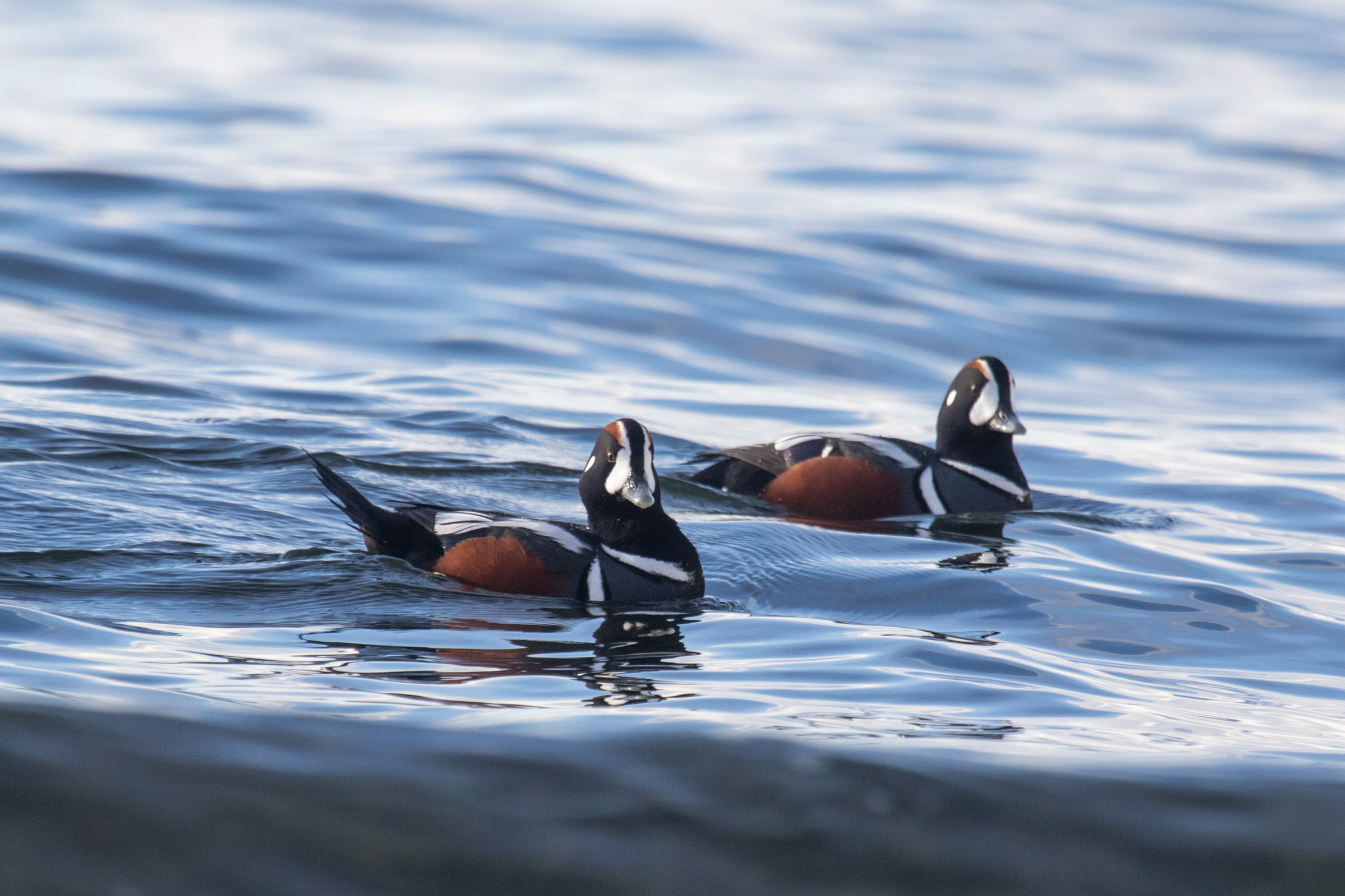 """On the Instagram caption of these Harlequin ducks, Alice shared: """"They are tough little birds, often found surfing in the roughest waters. In fact, these ducks actually suffer more broken bones than any other species."""" Alice Sun"""