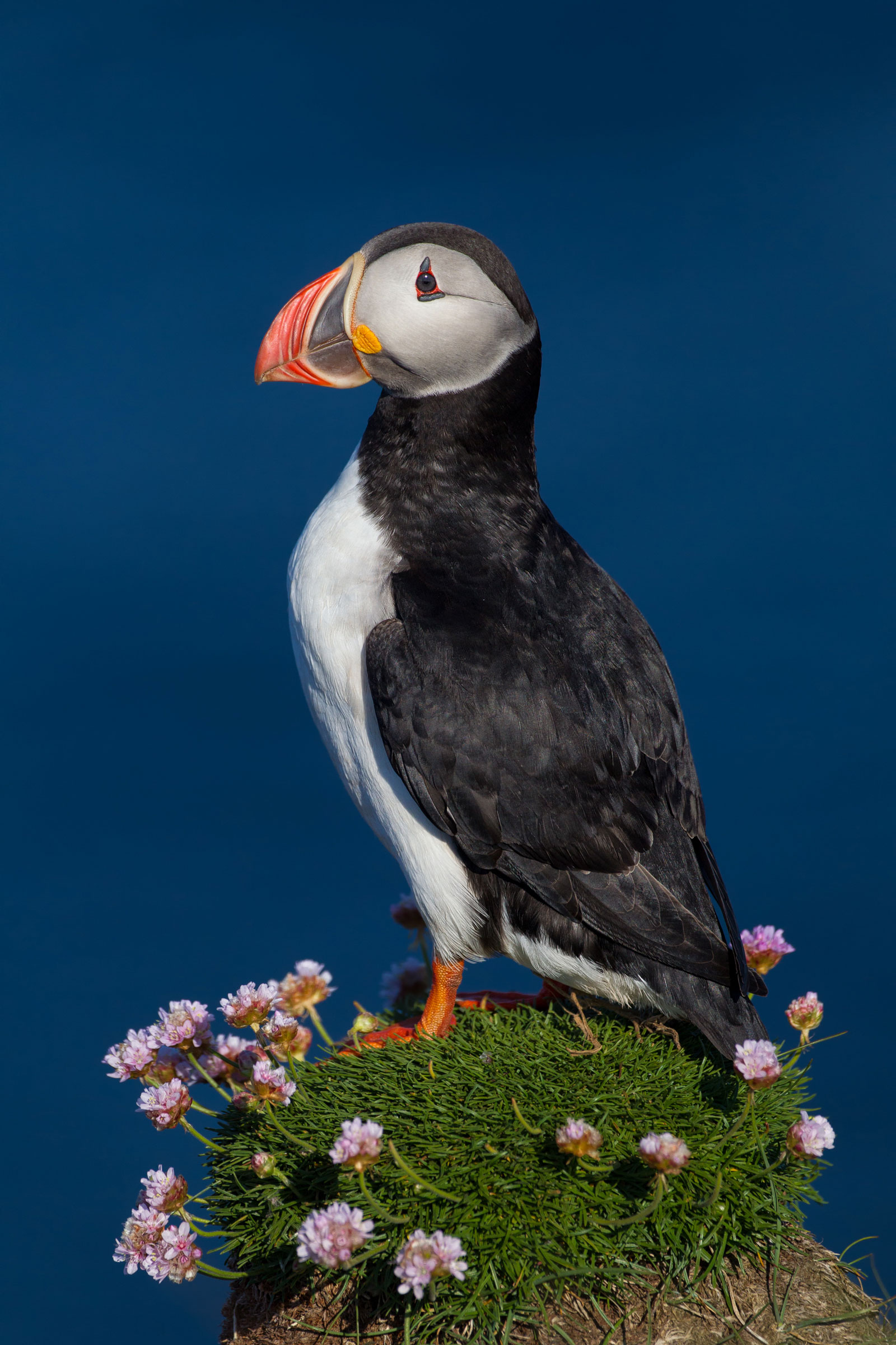 An Atlantic Puffin strikes the perfect pose on Látrabjarg. Michael Milicia
