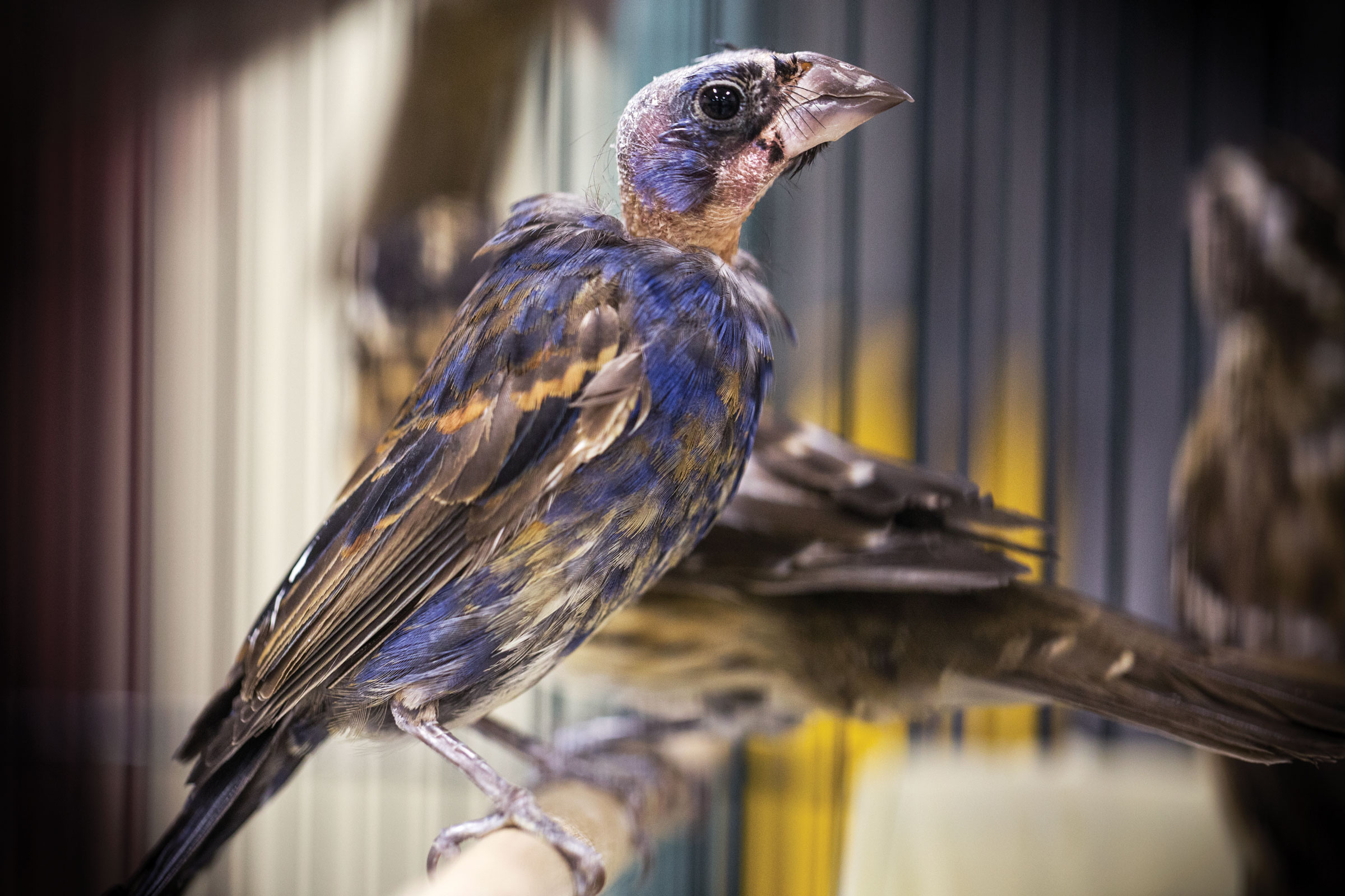Lured birds, like this Blue Grosbeak, fall into a trap through a pitfall door. Traffickers often keep the birds in terrible conditions, leading to emaciation and feather loss so severe that some birds can no longer fly. Karine Aigner