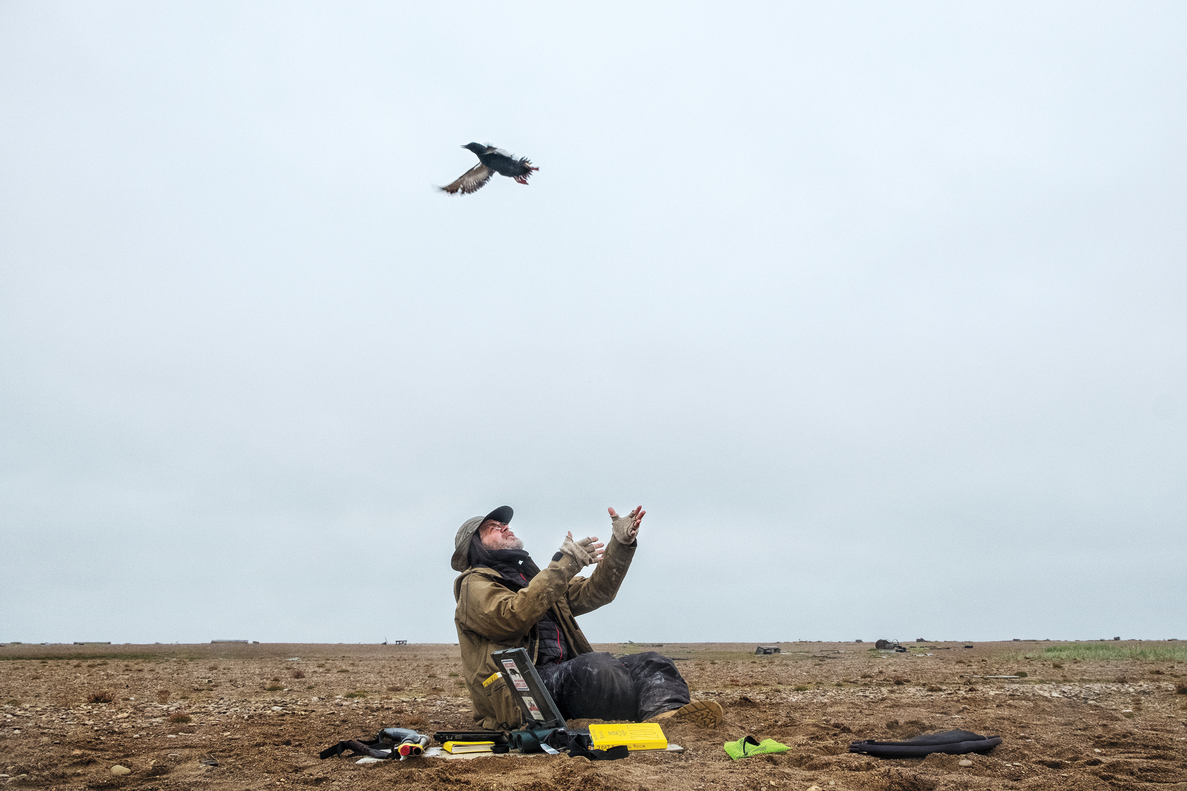 George Divoky releases an adult bird after attaching a geolocator to its ankle. His location data show that the birds closely track the sea ice edge when they're not on Cooper Island. Peter Mather