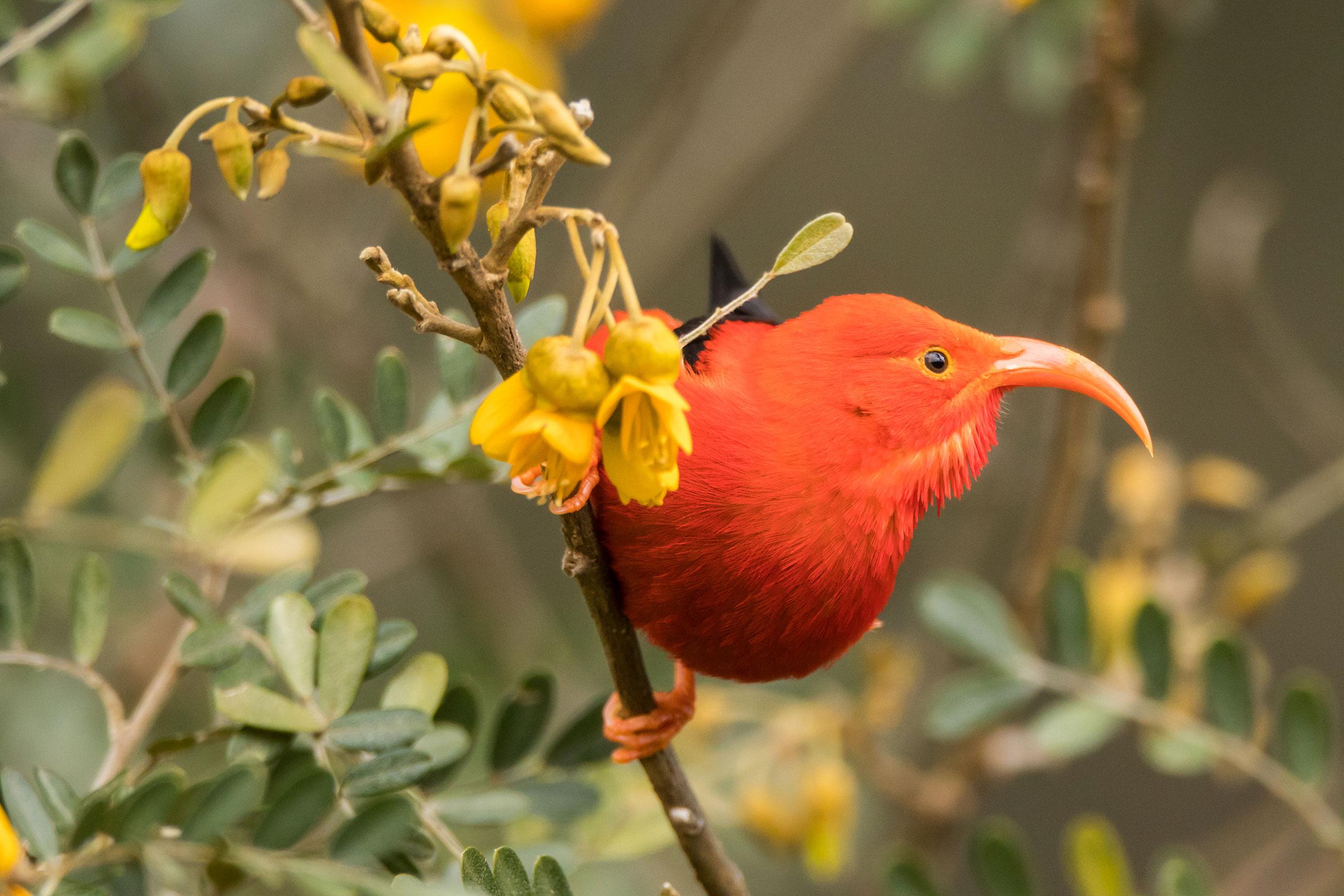 An ʻIʻiwi at Haleakala National Park in Hawaii.