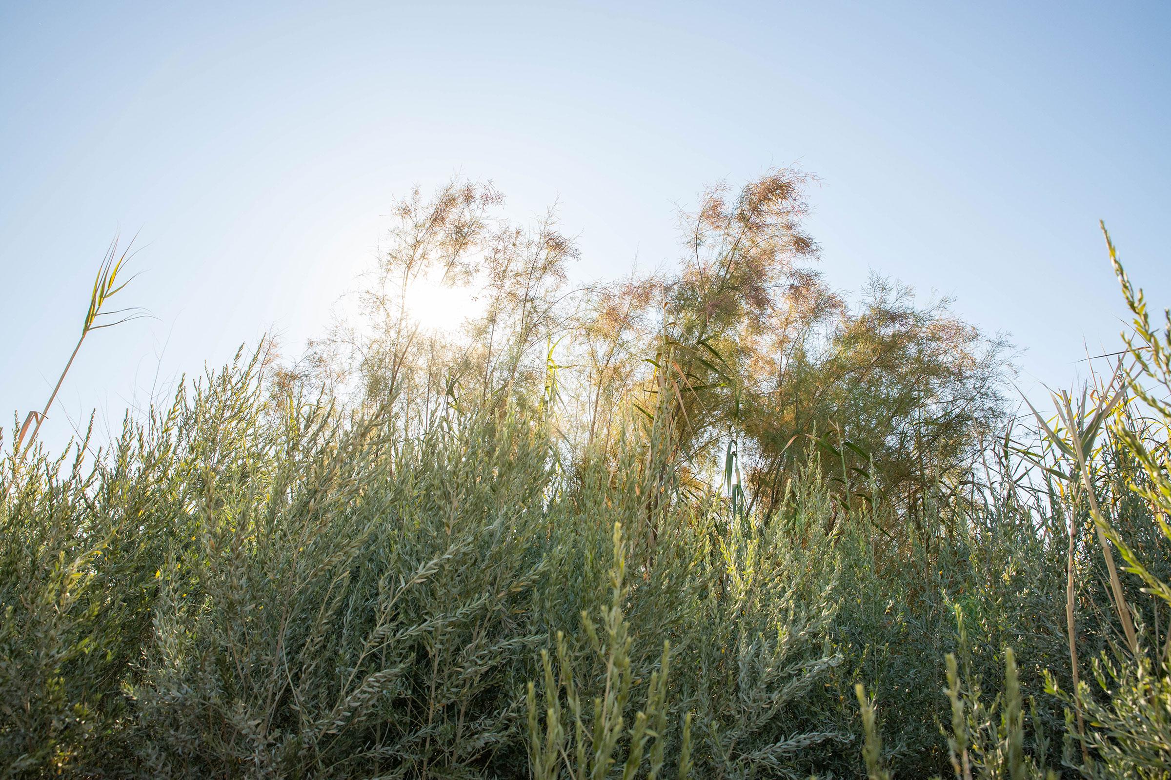 A non-native saltcedar tree in the Yuma East Wetlands that the Yuma Crossing National Heritage Area team plans to clear. Yuma, Arizona. Dominic Arenas/Audubon