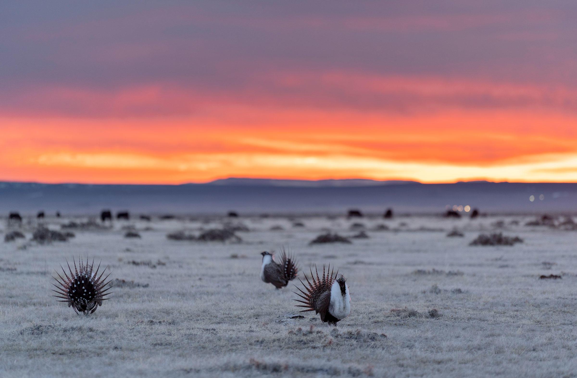 Greater Sage-Grouse. Evan Barrientos/Audubon