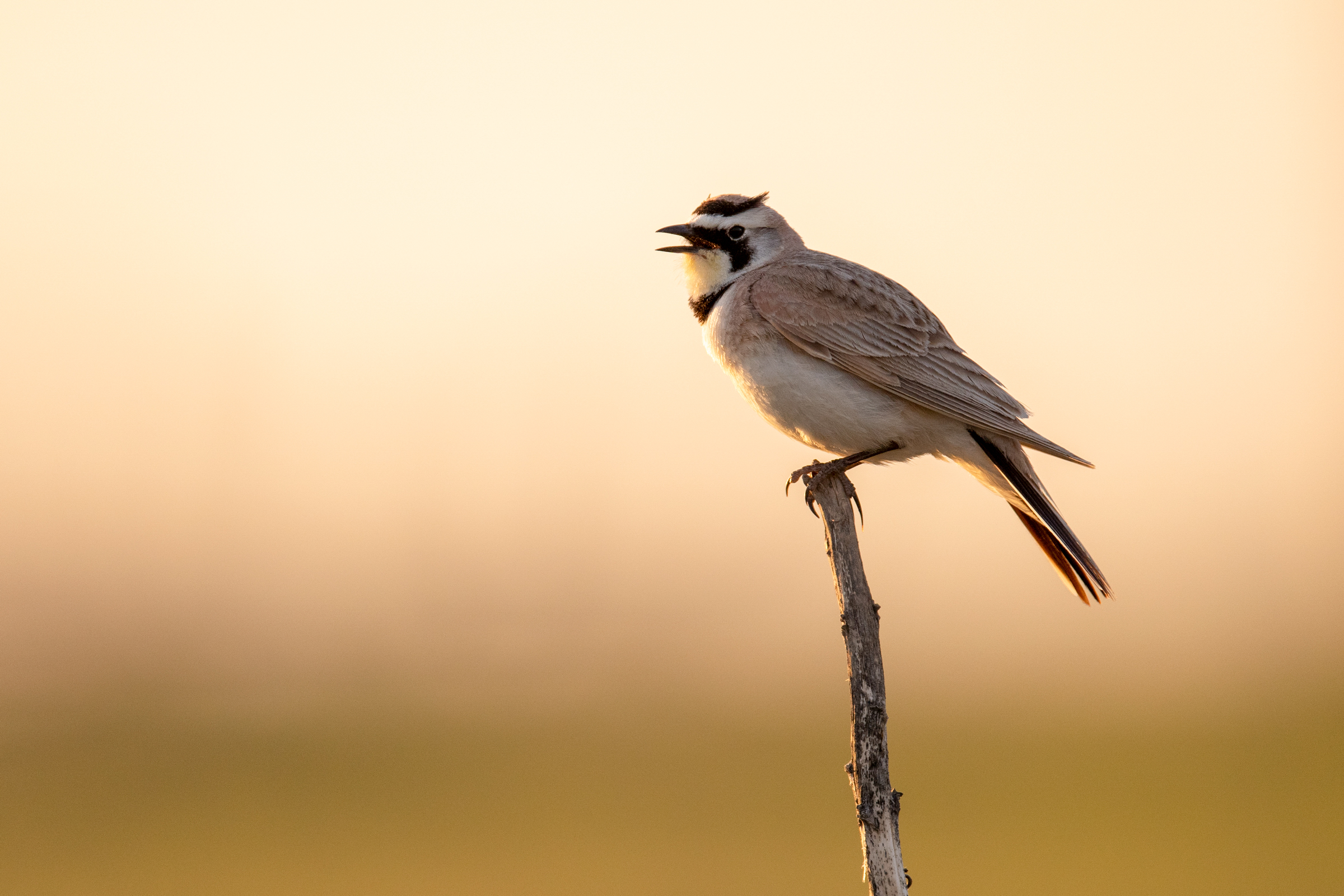 The Horned Lark is threatened by wildfire and spring heat waves, both worsened by global warming. Evan Barrientos/Audubon