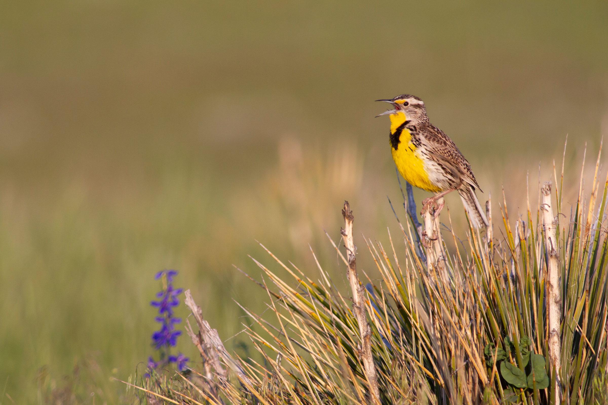 Western Meadowlark, Pronghorn Ranch, Wyoming, 18,000 acres enrolled in the Audubon Conservation Ranching Initiative. Evan Barrientos/Audubon