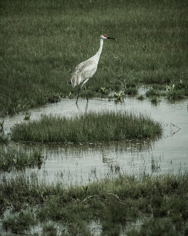 A Sandhill Crane at Oregon's Malheur National Wildlife Refuge. John Clark