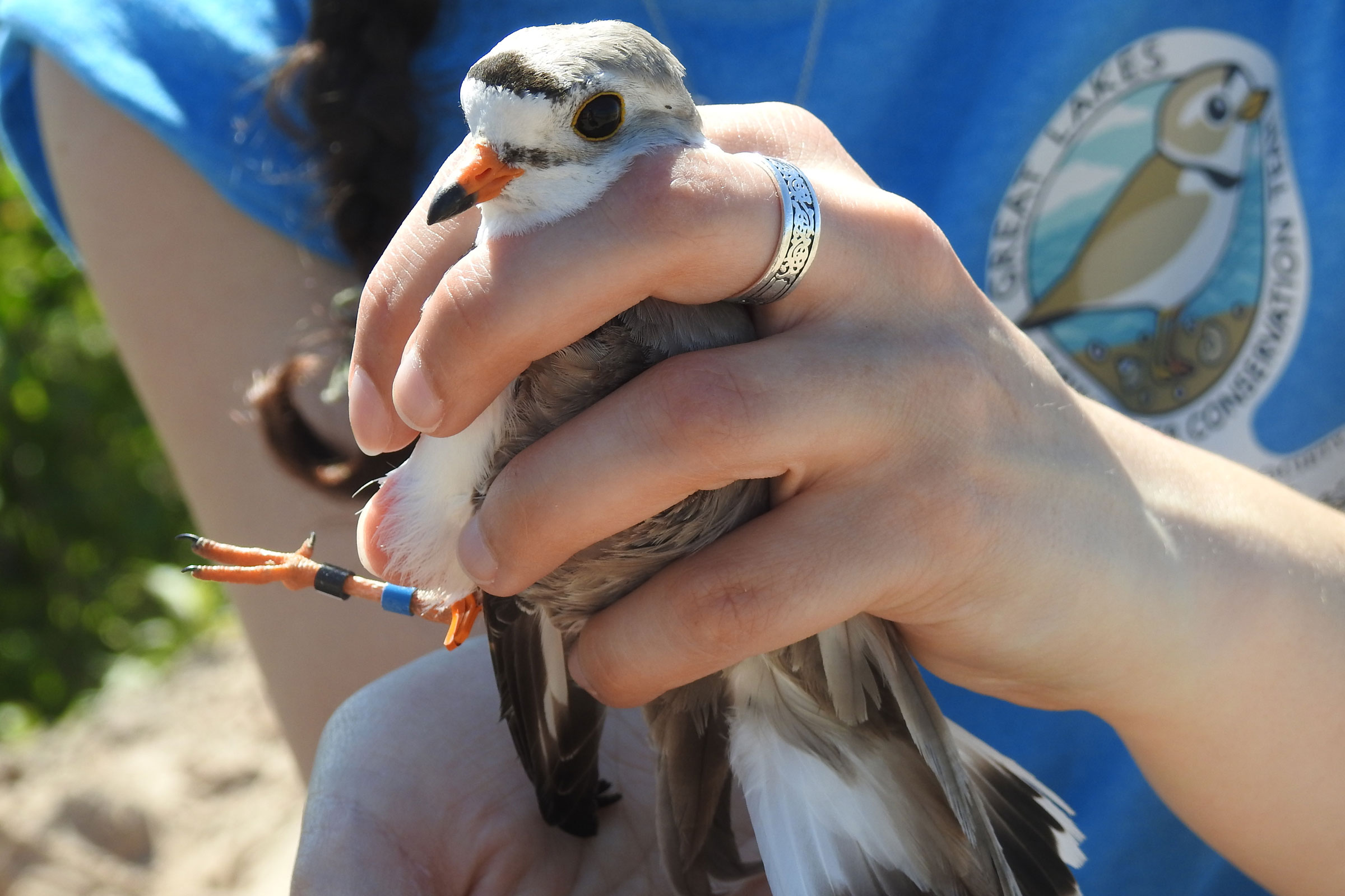 Leg bands help scientists track endangered Great Lakes Piping Plovers, like this one from the Cat Islands. Trina Soyk/FWS