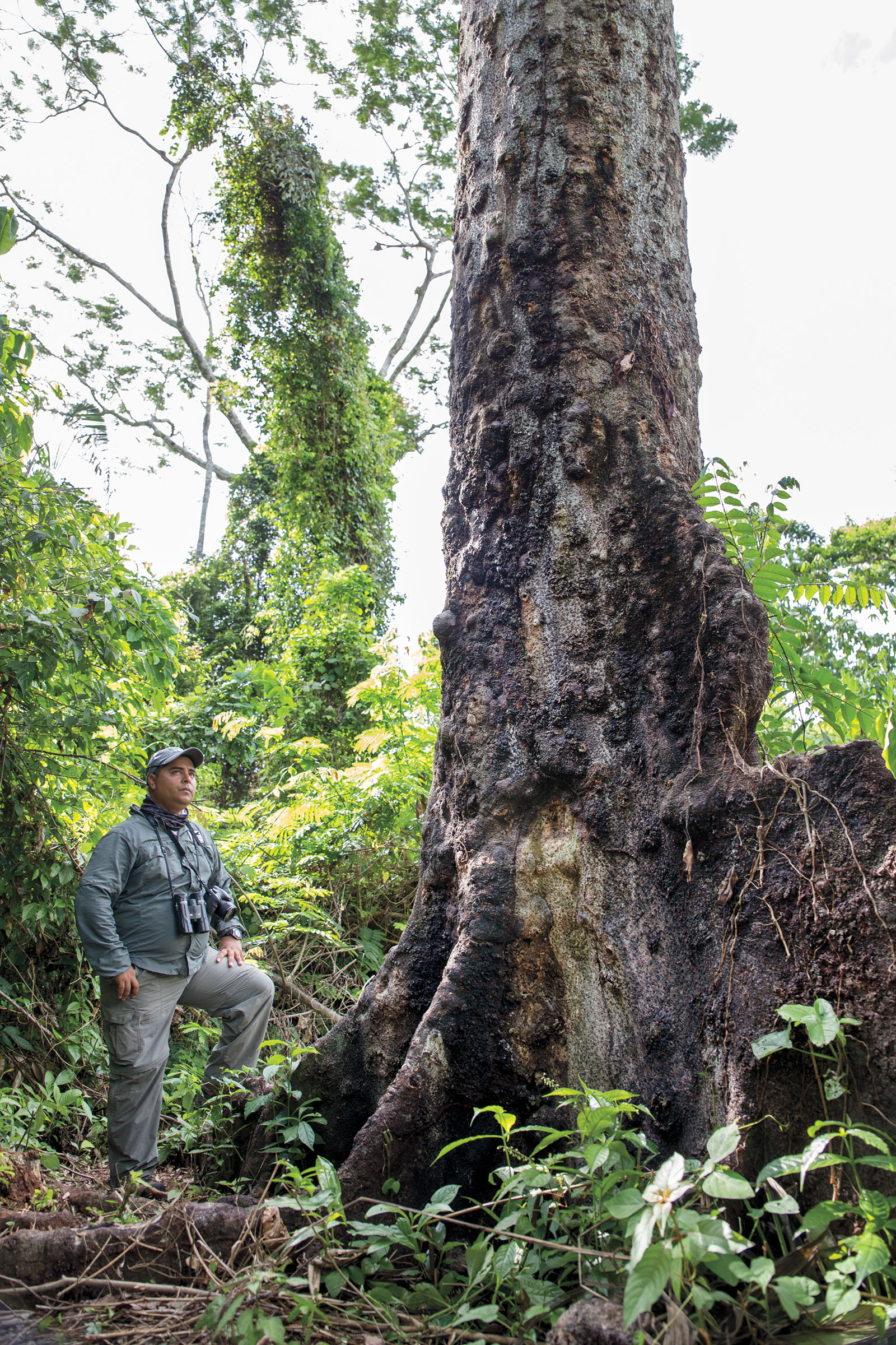 Roni Martinez, one of the founders of Scarlet Six Biomonitoring Team, stands next to a quamwood tree heavily pocked with the scars from poachers spiked boots. Camilla Cerea/Audubon
