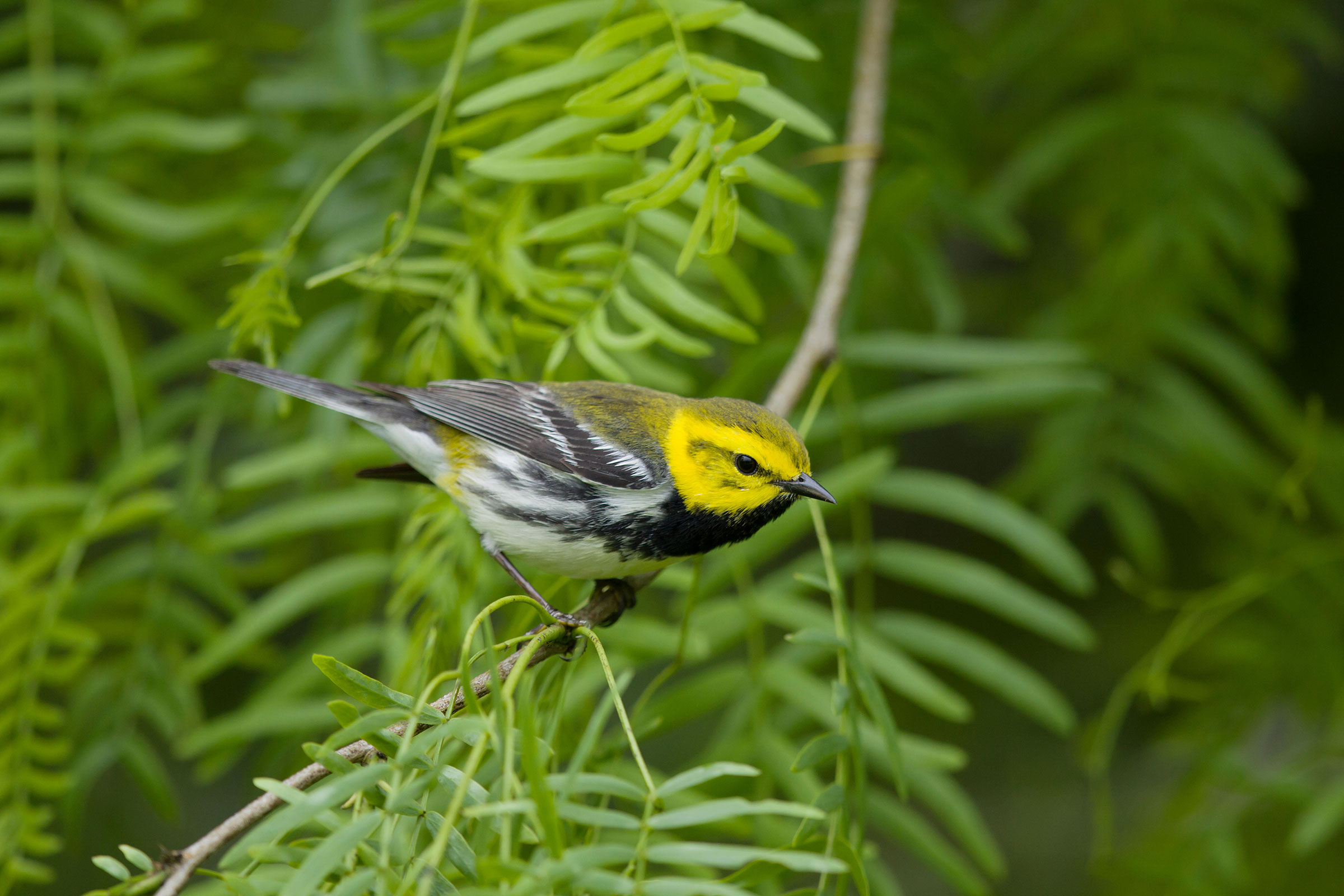 Black-throated Green Warbler. Bill Coster/Alamy