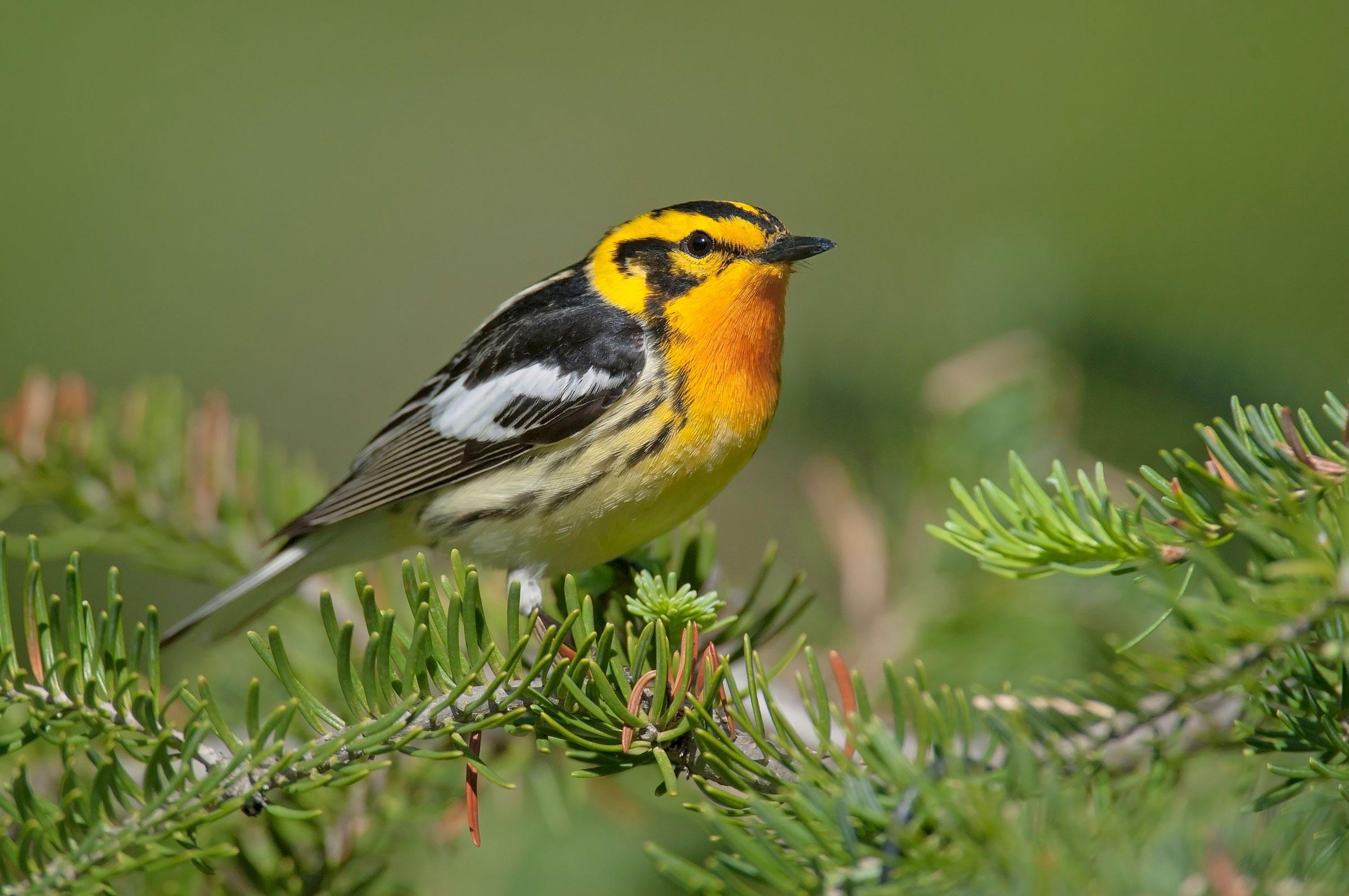 Blackburnian Warbler. Brian Zwiebel/Sabrewing Nature Tours