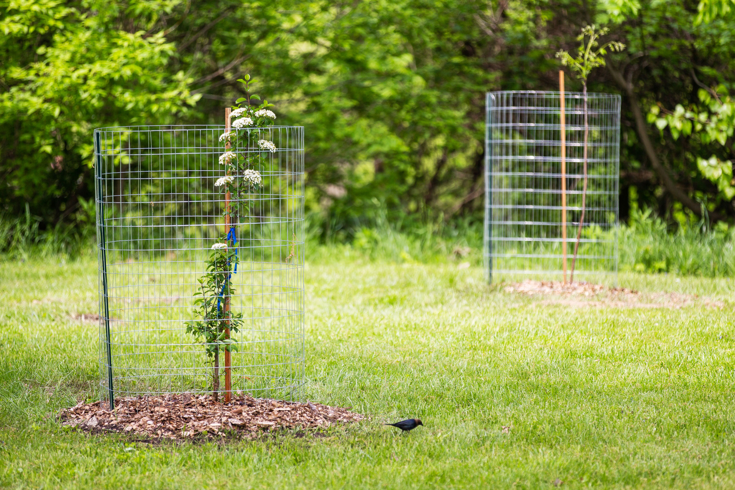 A Brown-headed Cowbird forages next to a newly planted blackhaw viburnum. Allison Farrand