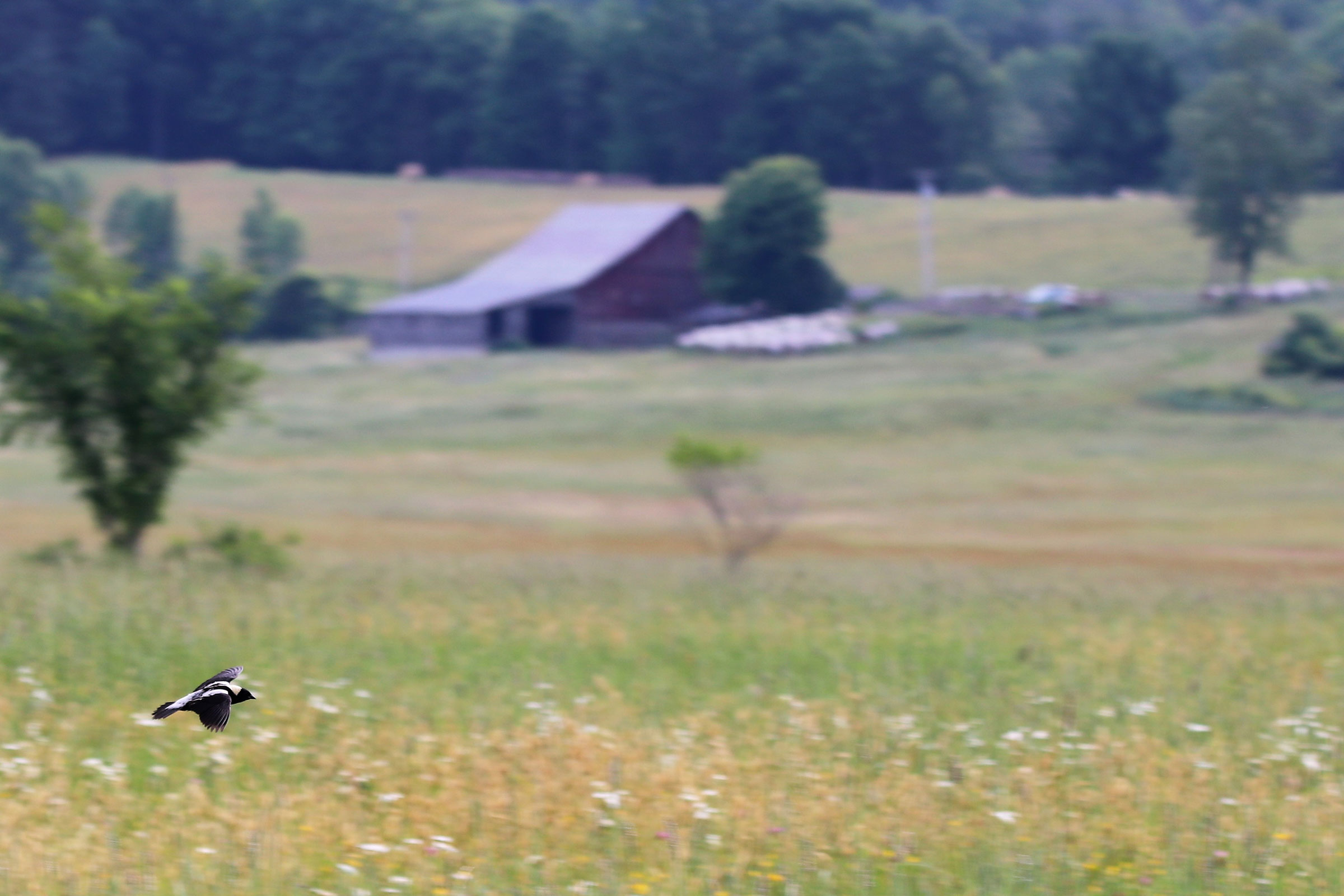 A male Bobolink flying over Roberts' Family Farm in Fair Haven, Vermont.