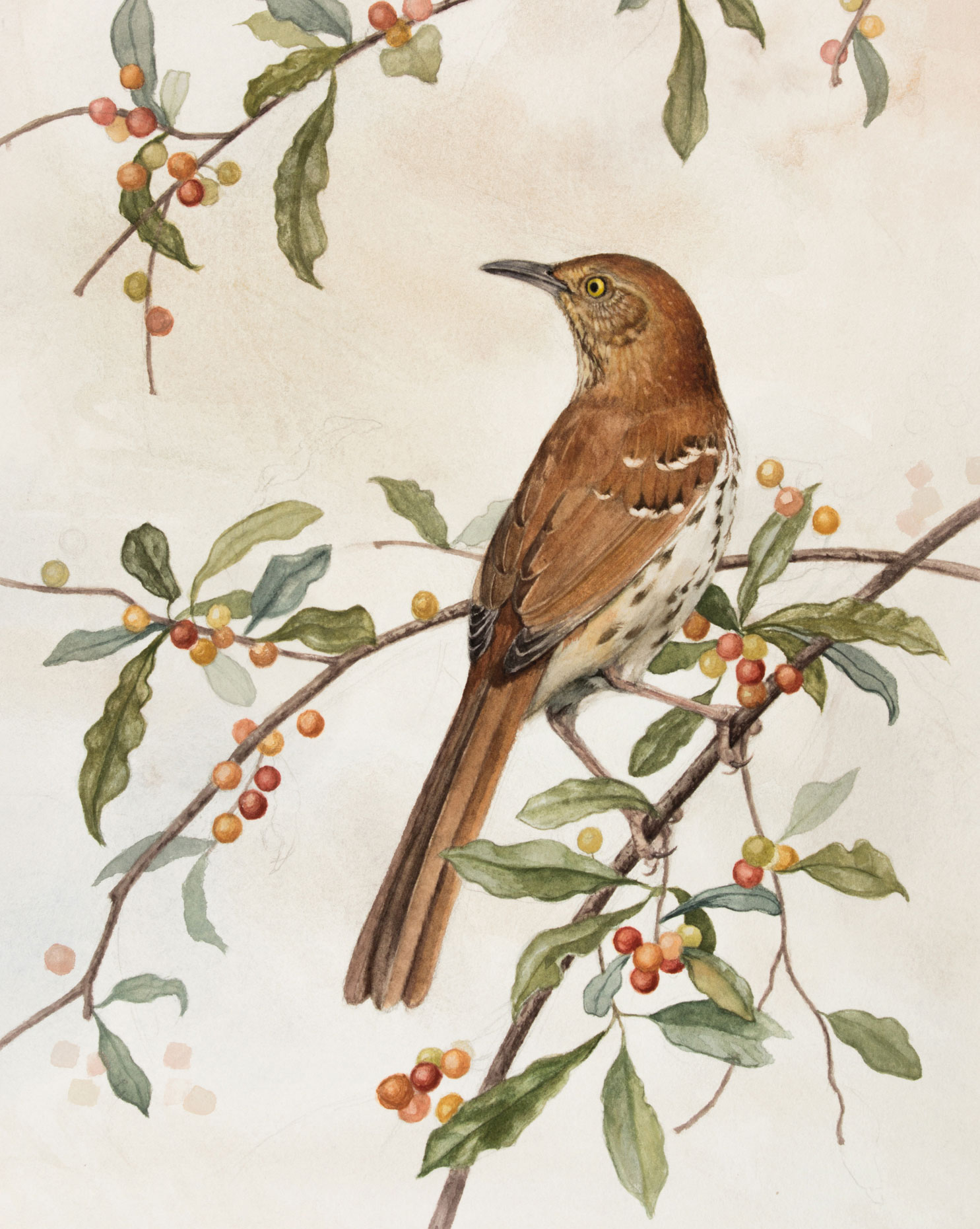 Warnick observed this single nesting Brown Thrasher over several months while she was an artist in residence at the Muscatatuck National Wildlife Refuge in Indiana. Drawing: Alex Warnick