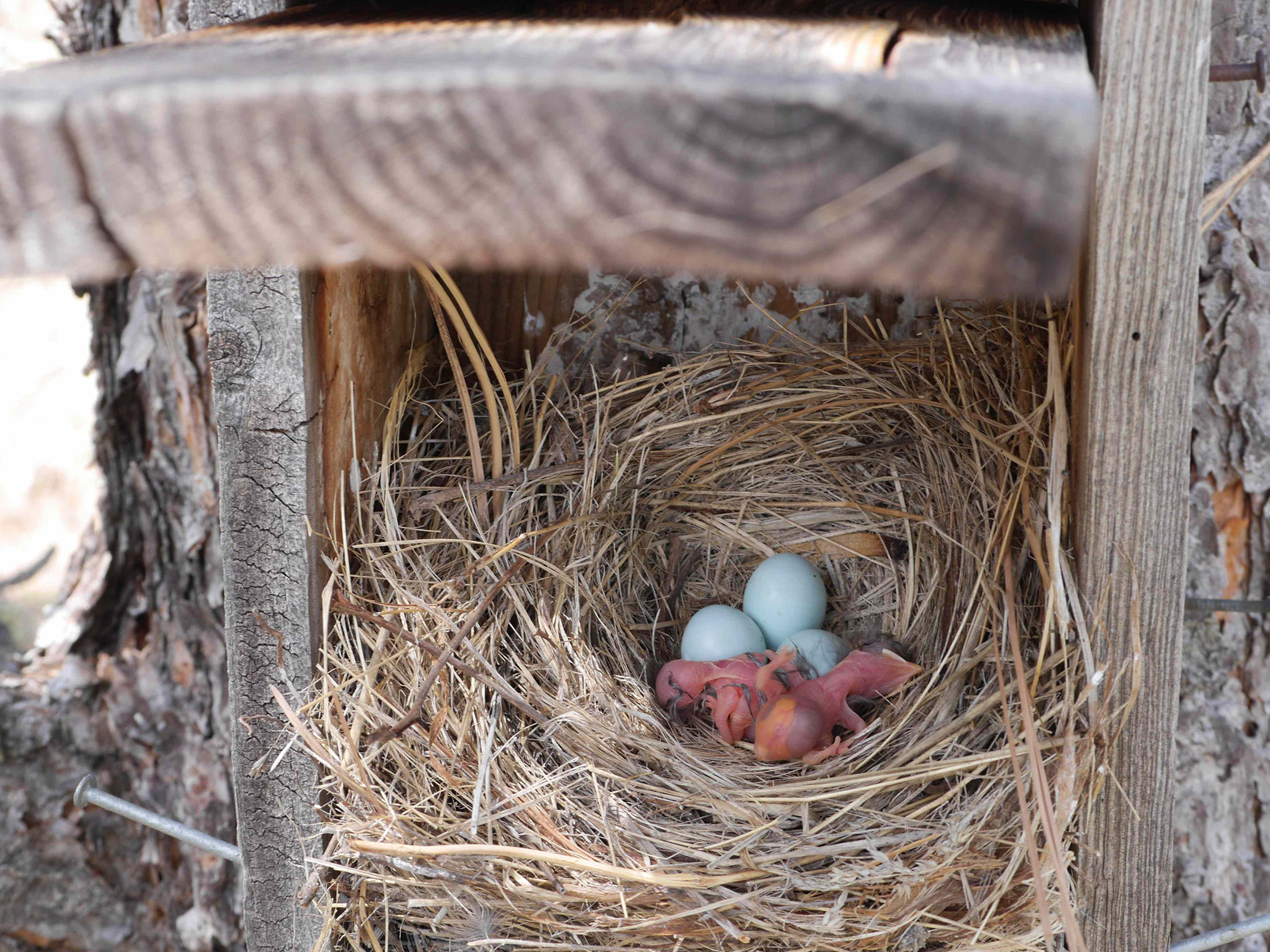 A half-hatched Mountain Bluebird clutch on one of Larson's trails. The species lays anywhere from four to eight eggs, typically between April and August. Neil Paprocki