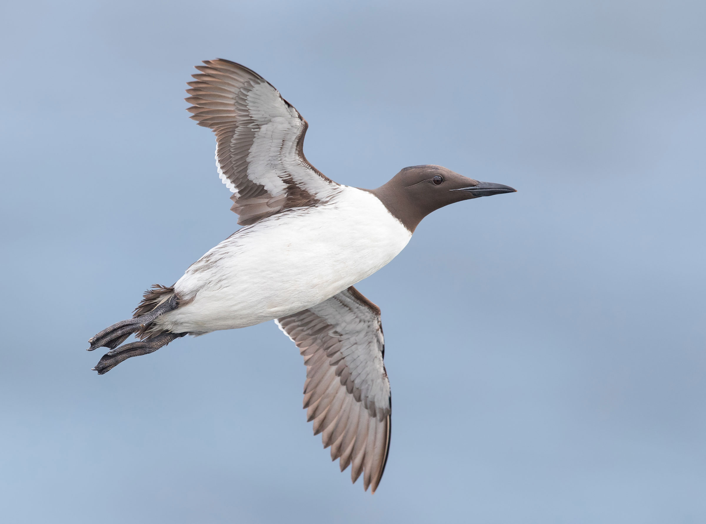 Capturing flying alcids, such as this Common Murre, is an allure of Grímsey Island. Michael Milicia