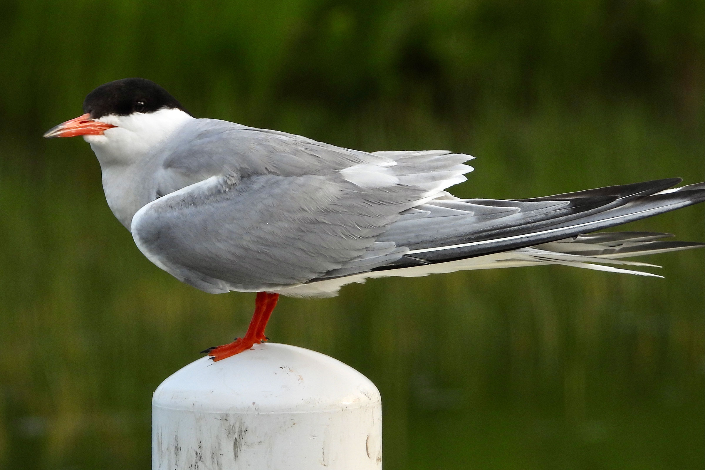 a bird with a light grey back, white chest, black head, and bright orange bill stands on a white post