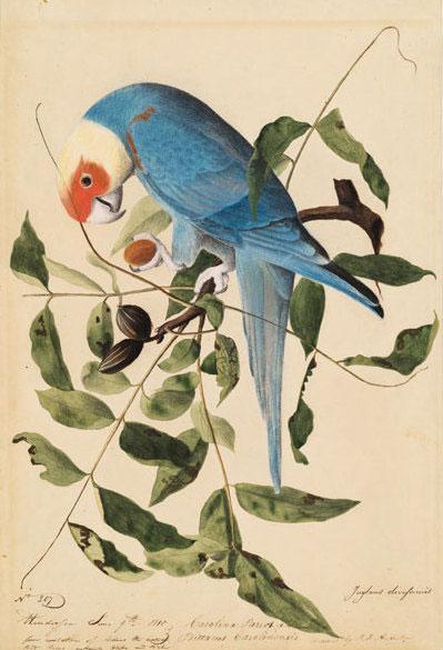 The southern subspecies, Conuropsis carolinensis ludovicianus. Illustration: John James Audubon