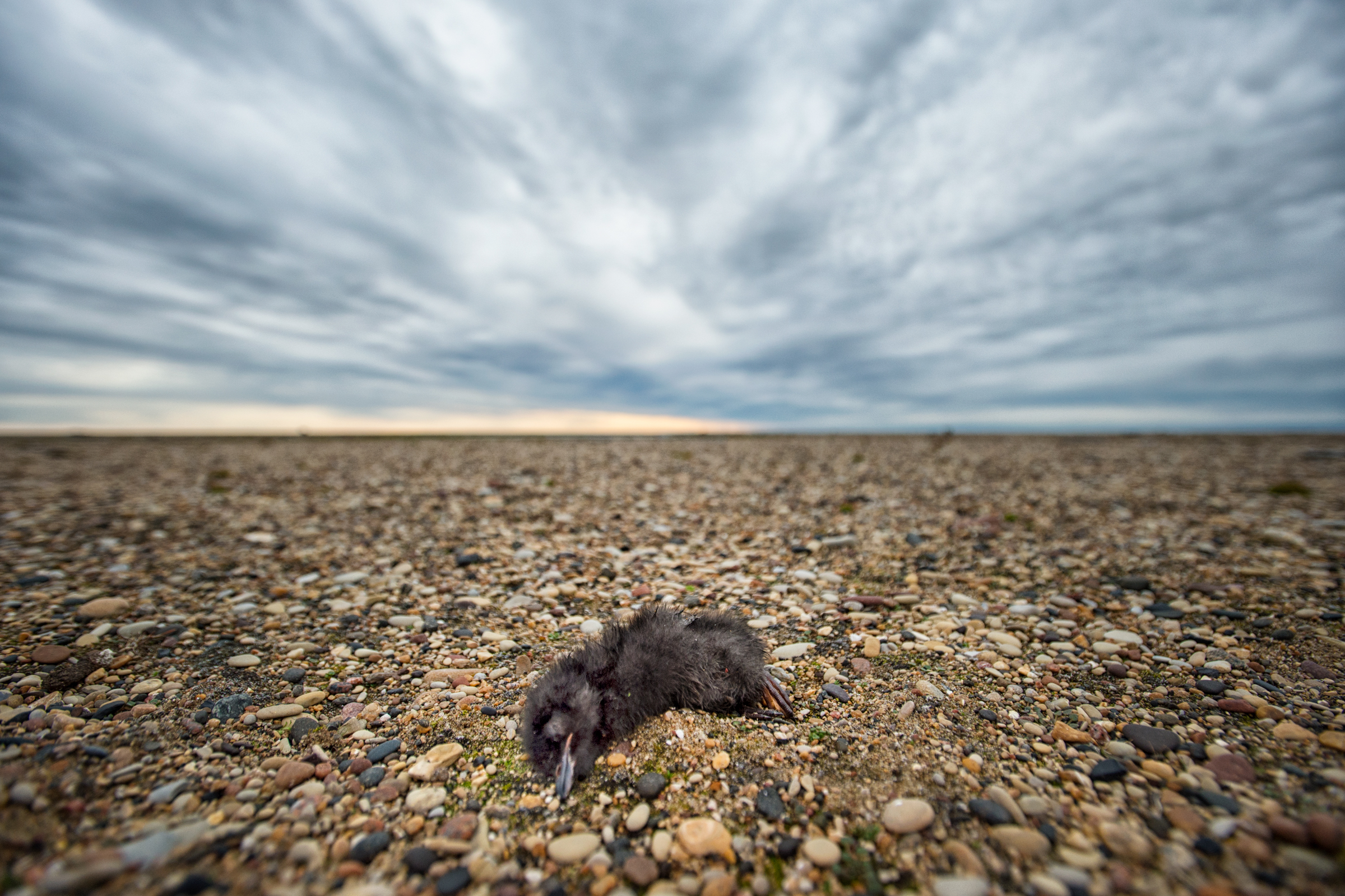 An infinite sky looms over the frail body of a chick, which lies dead on the gravel after being removed from its nest. Out of 120 chicks that hatched this summer, only 45 fledged. Peter Mather