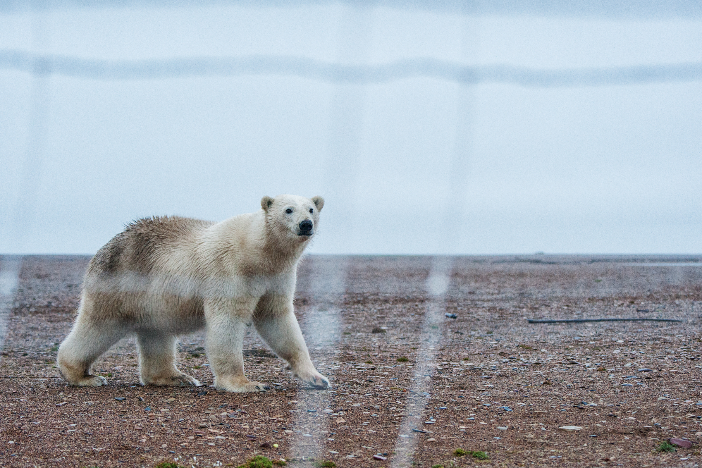 The white fur of a polar bear makes for less-than-ideal camouflage against the backdrop of Cooper Island's brown gravel and sand. Peter Mather