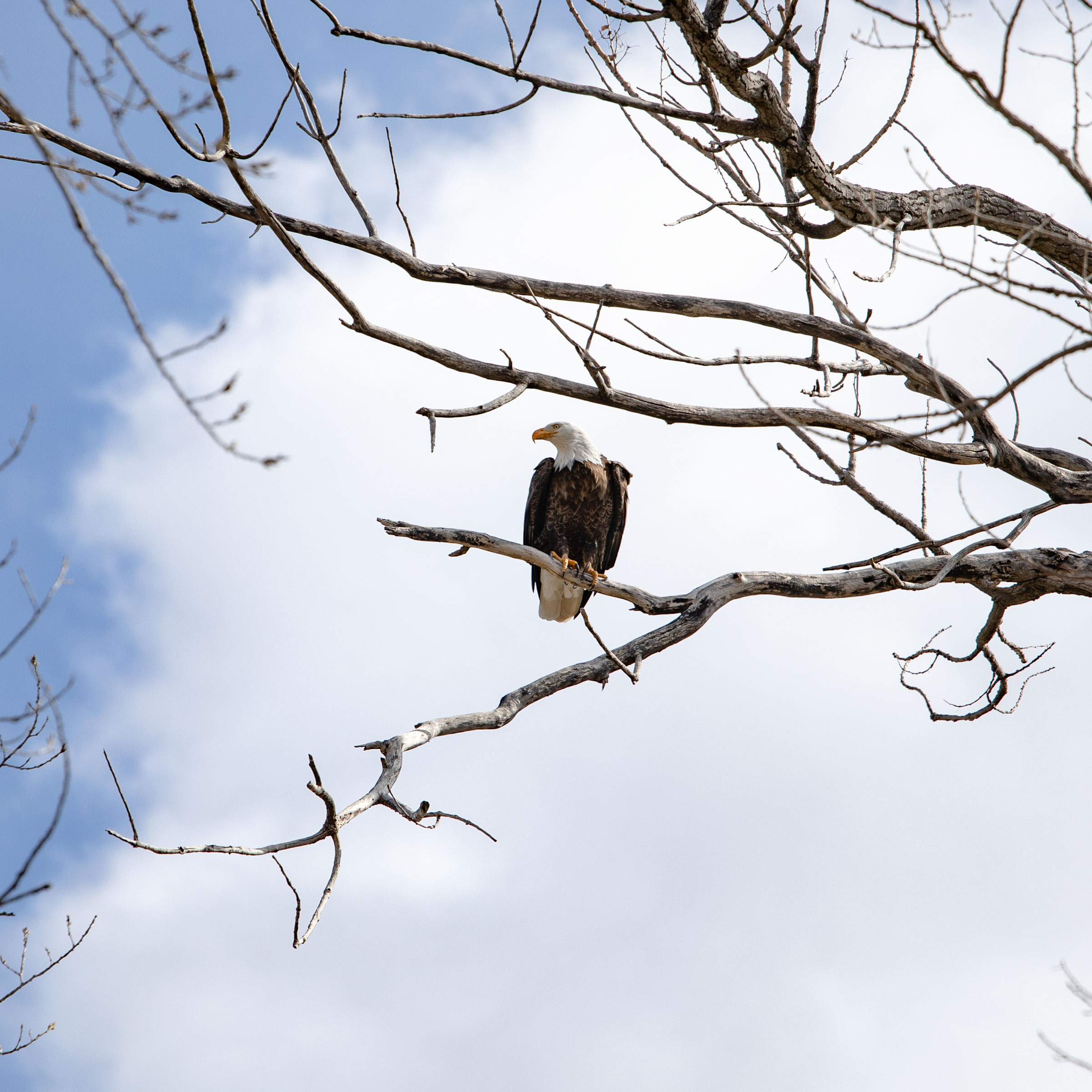 Bald Eagle on Hutchinson's Nebraska ranch. Wyatt DeVries