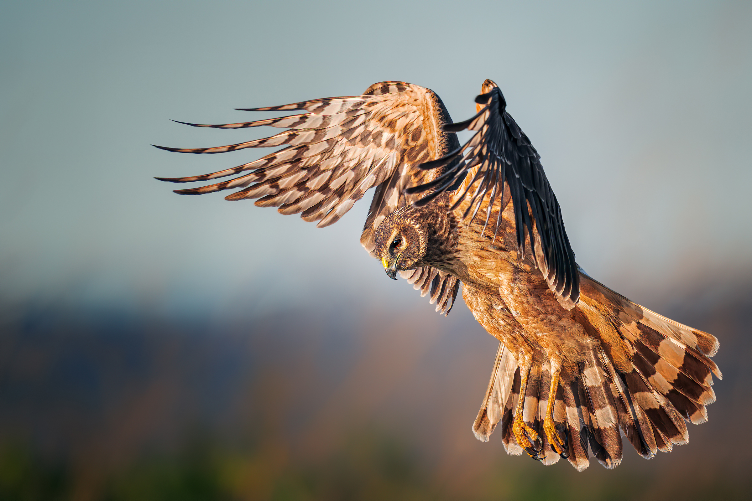 A female Northern Harrier flies over a wetland, her broad wings raised over her head. Her long tail striped with white and brown spreads out like a fan, her round face looking down.