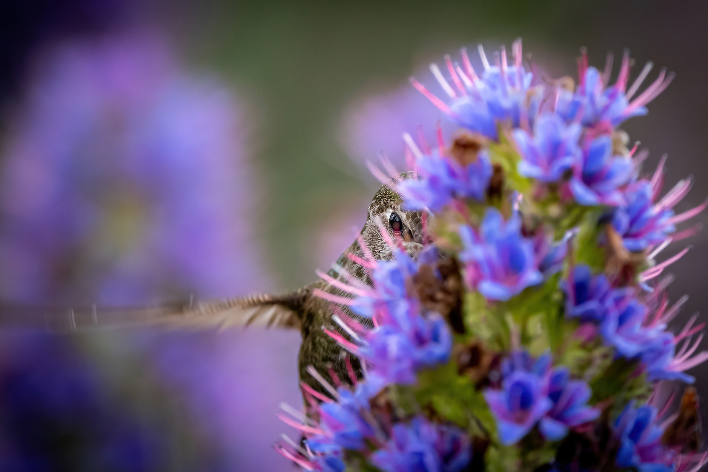 More than a dozen purple blooms on a Pride of Madeira plant obscure all but a blurred wing and one eye of an Anna's Hummingbird. The hummingbird faces the viewer with its eye clearly visible between two flowers, appearing to be making eye contact with the photographer.