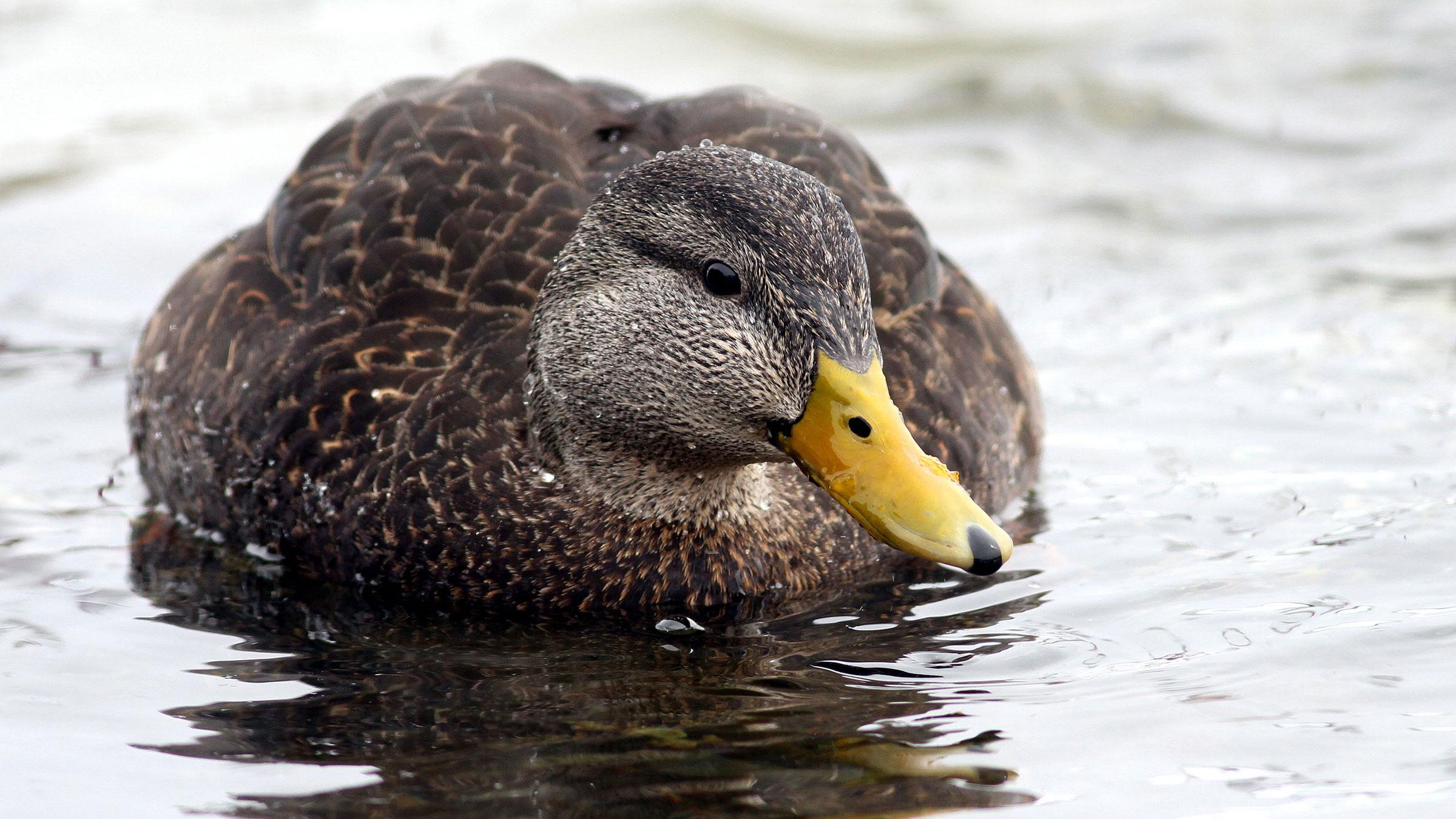 """American Black Duck. Fyn Kynd/<a href=""""https://www.flickr.com/photos/79452129@N02/16346303680"""">Flickr (CC by 2.0)</a>"""