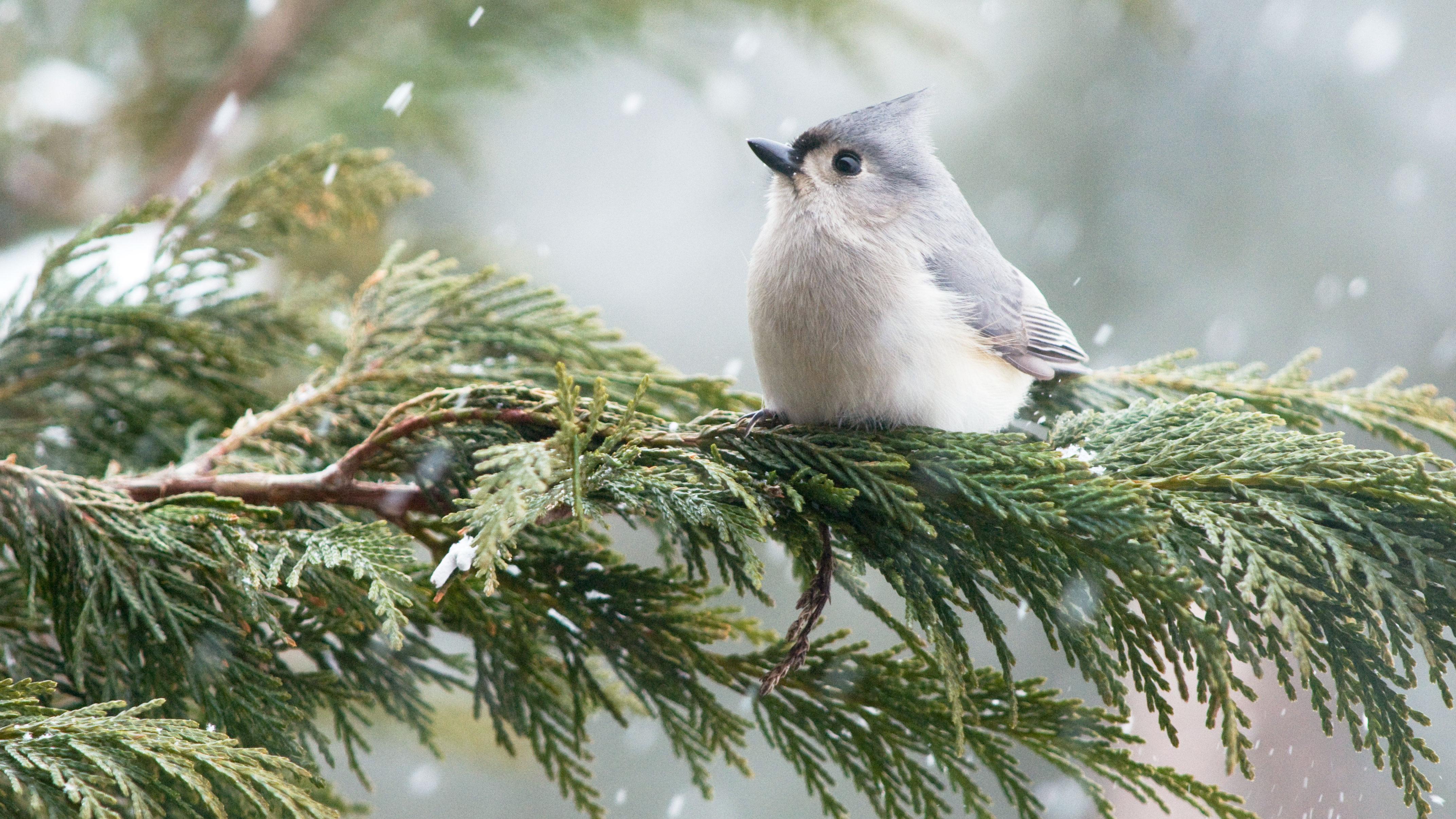 Tufted Titmouse. Michele Black/Great Backyard Bird Count