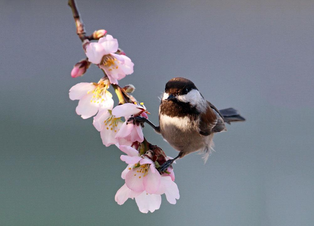 Chestnut-backed Chickadee. Donald Dvorak/Great Backyard Bird Count