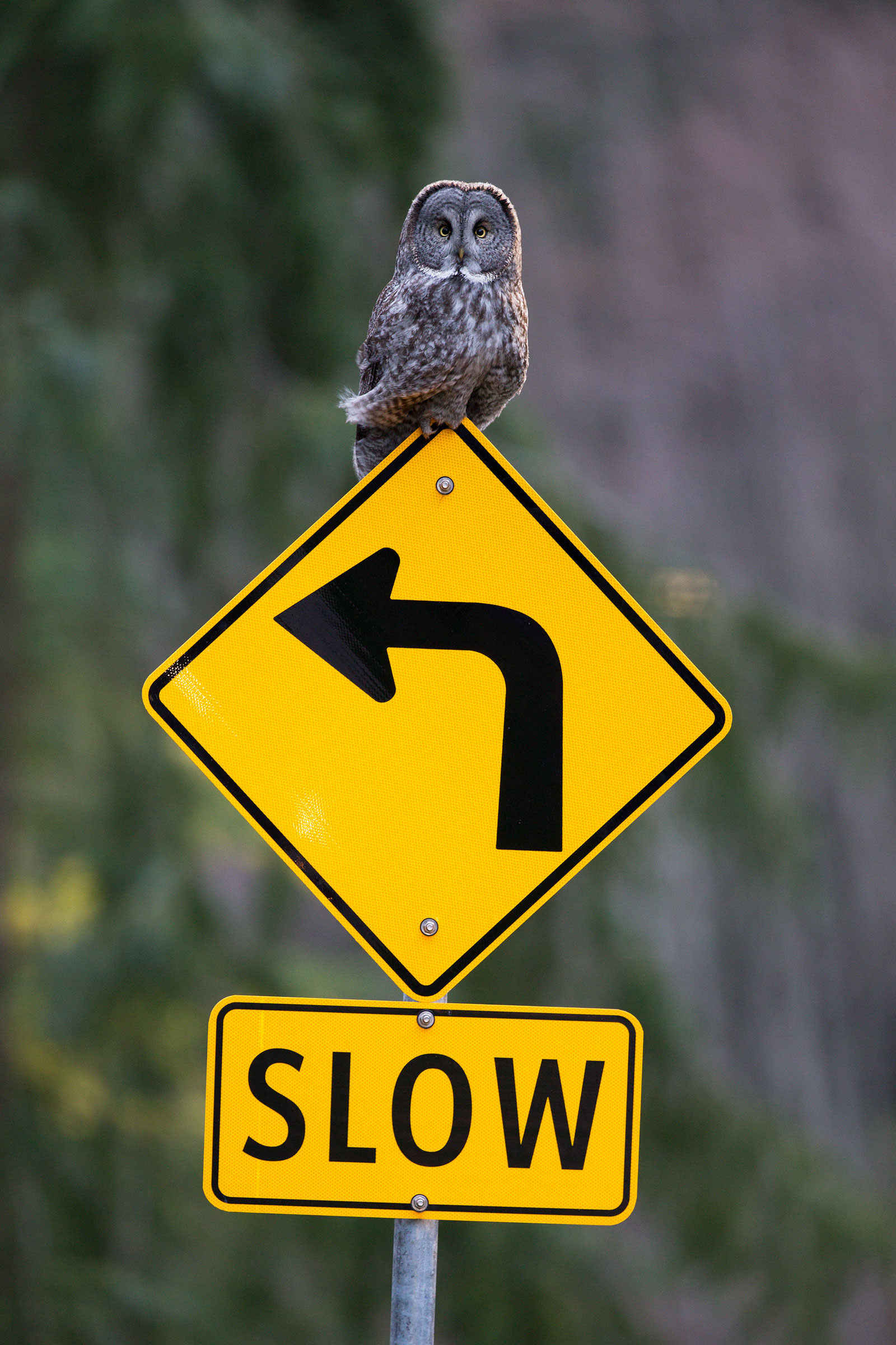 """While trying to get a photo of this Great Gray Owl, the author had her shot blocked by another photographer, a reminder to respect other shooters as well as the birds. <a href=""""http://www.neverspook.com/"""">Roberta Olenick</a>"""