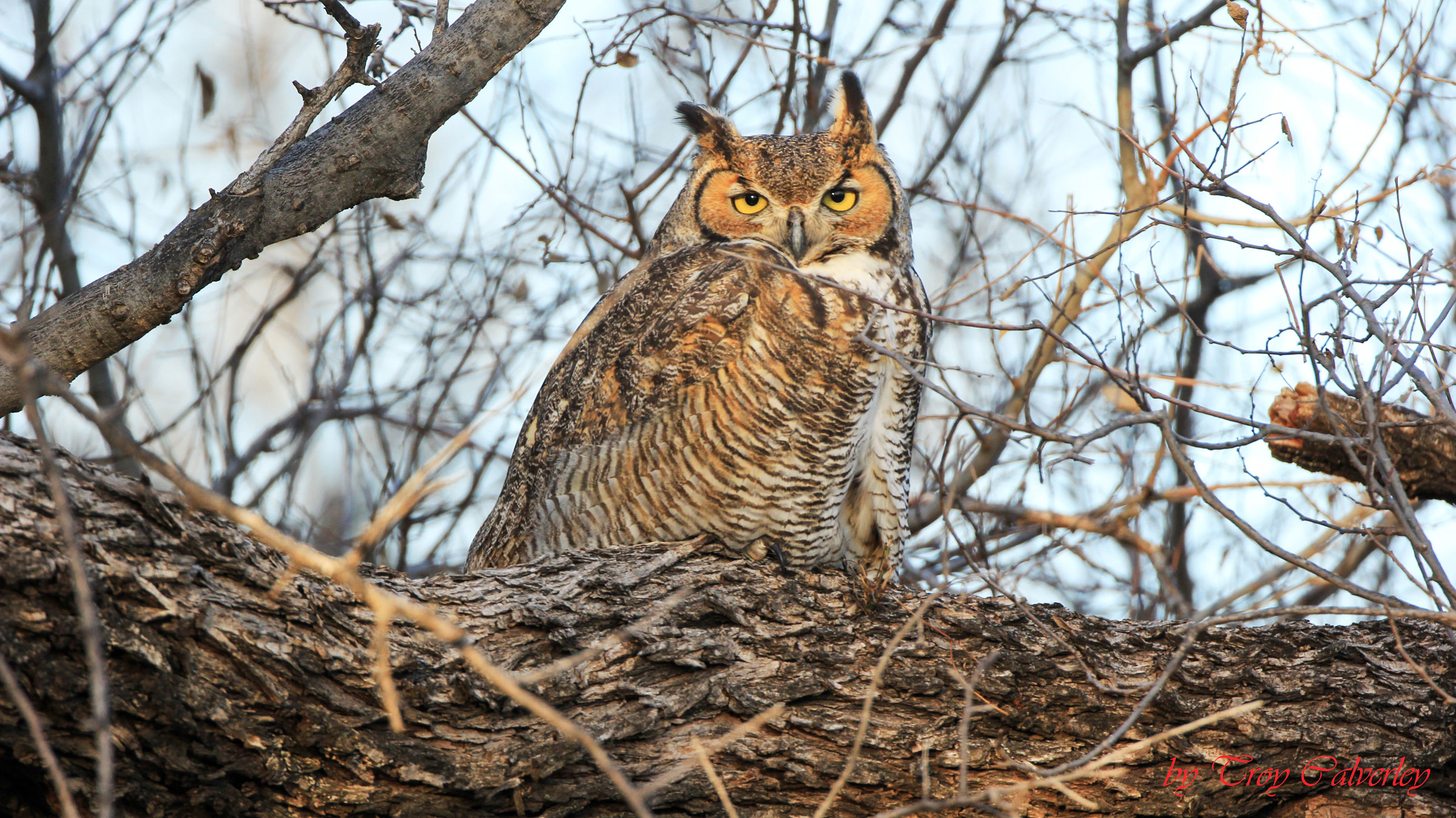 Great Horned Owl. Troy Calverly/Great Backyard Bird Count