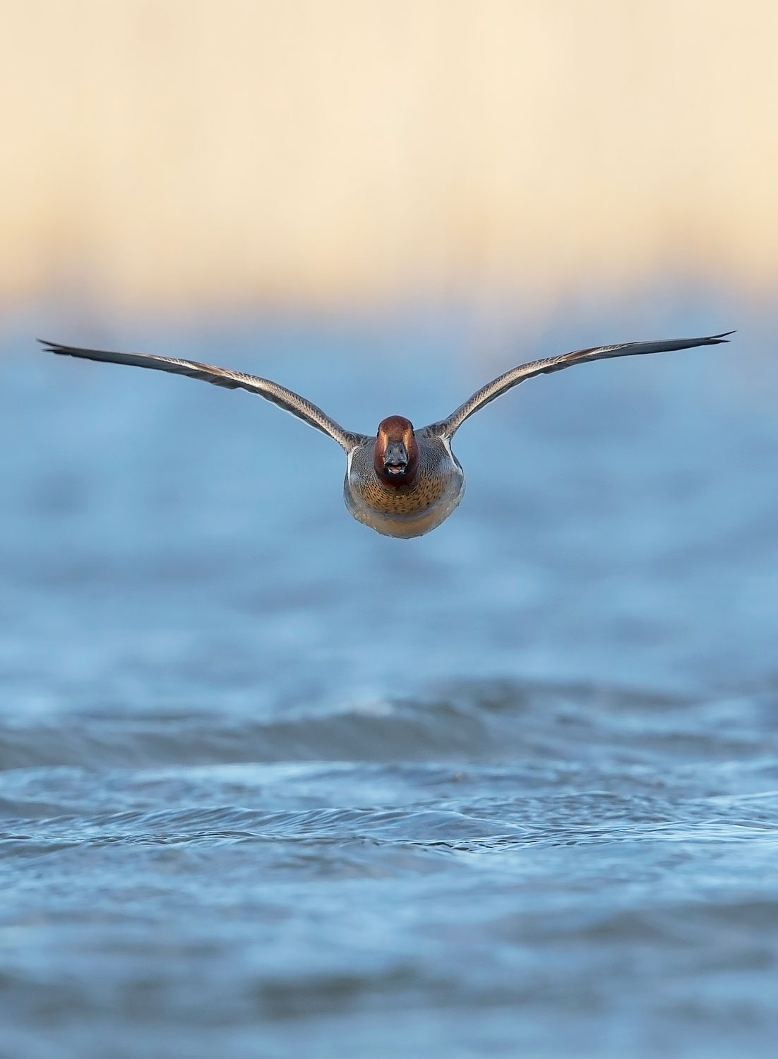 Ducks, like this Green-winged Teal, will almost always take off and land into the wind, allowing you to ideally position yourself for a head-on photograph. Brian Zwiebel